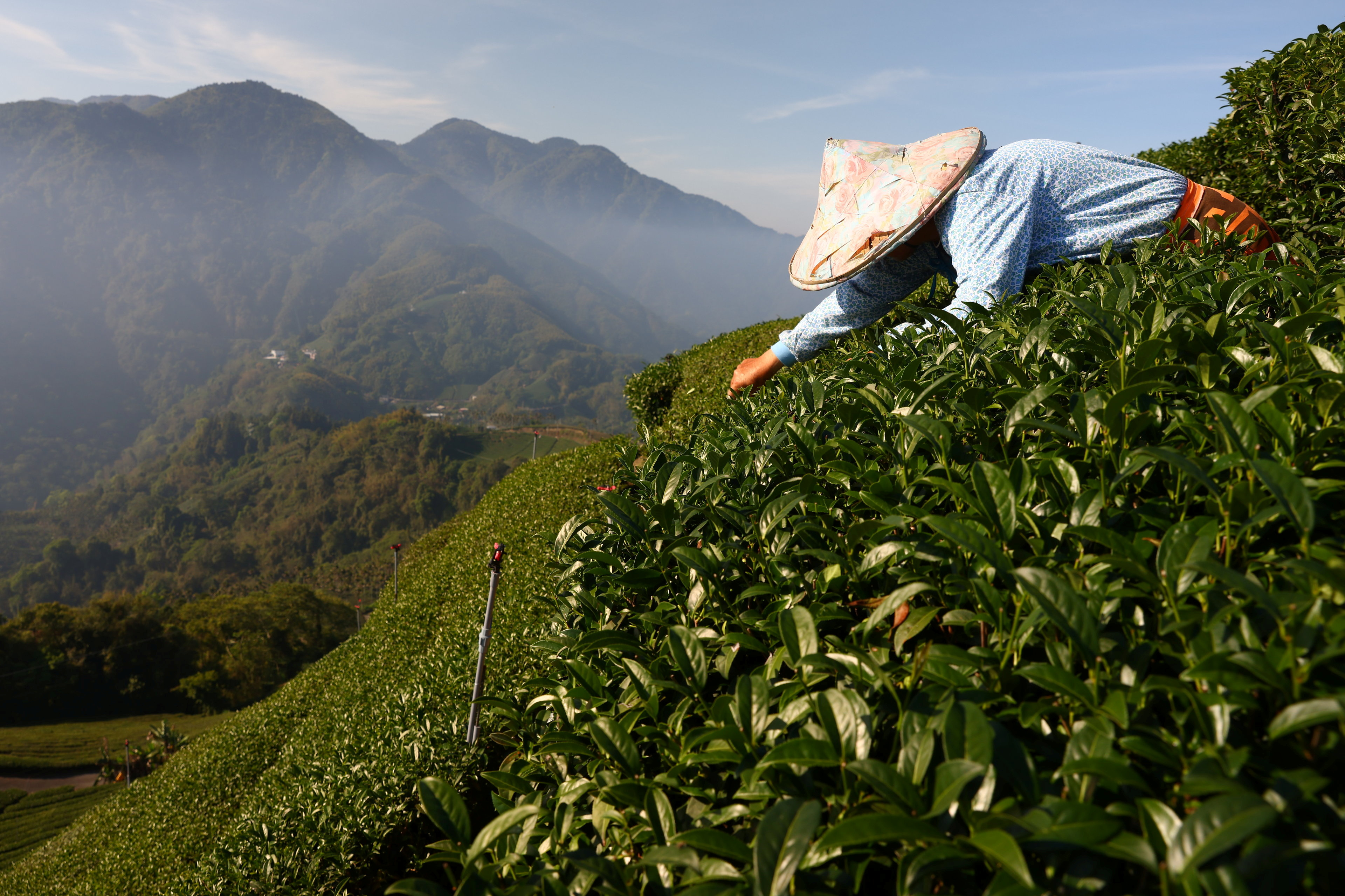 Tea harvesting staff collect tea leaves on a plantation in Jiayi, Taiwan, May 7, 2021. Staff are paid based on the weight of the tea they collect, however, the drought has caused a decrease in growth which affects the amount of money they can earn per harvest. REUTERS/Ann Wang