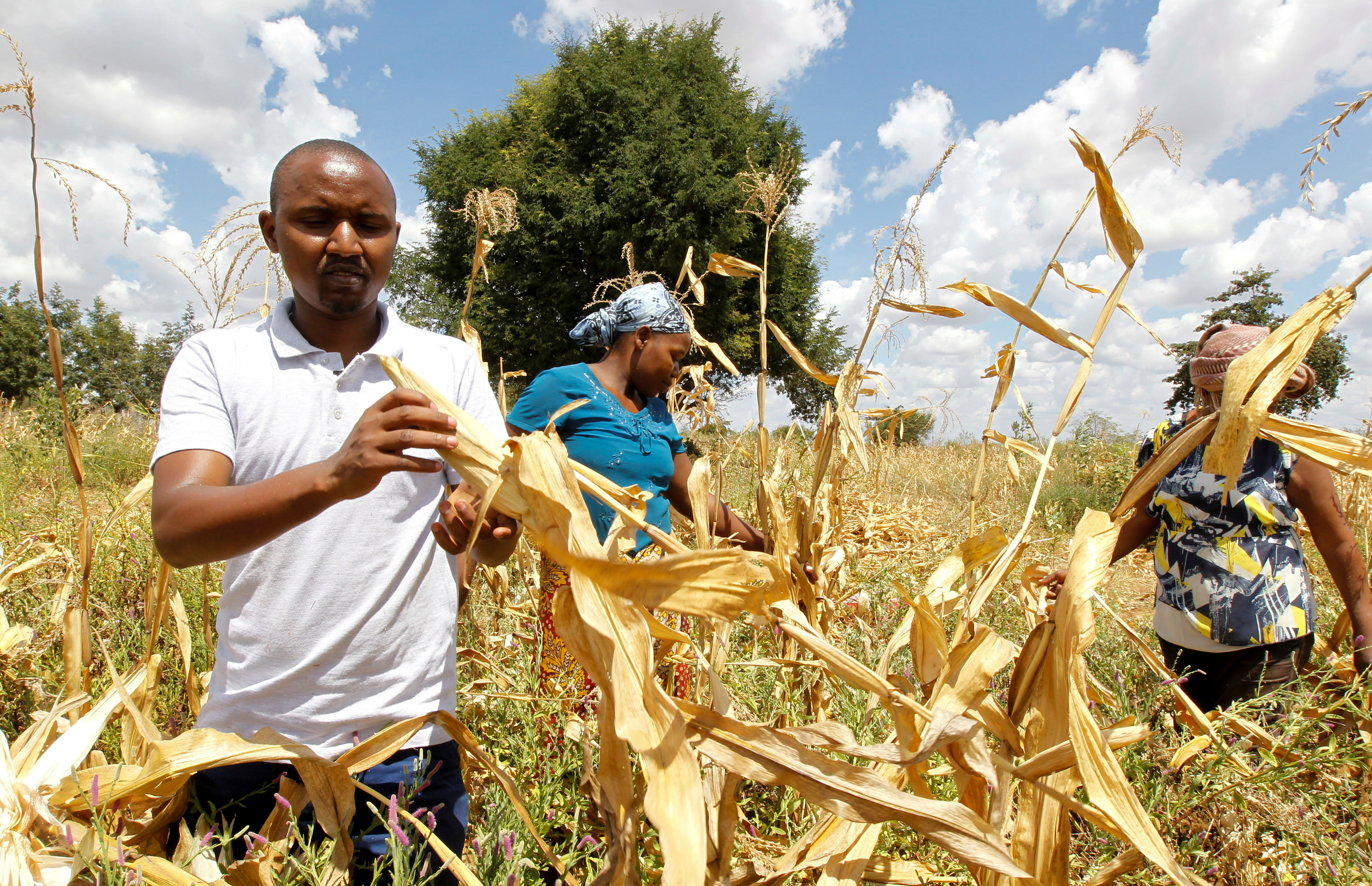 Pula operations manager Daniel Mbuvi assists a farmer in harvesting maize, in Kitui county, Kenya, March 17, 2021. Picture taken March 17, 2021. REUTERS/Monicah Mwangi