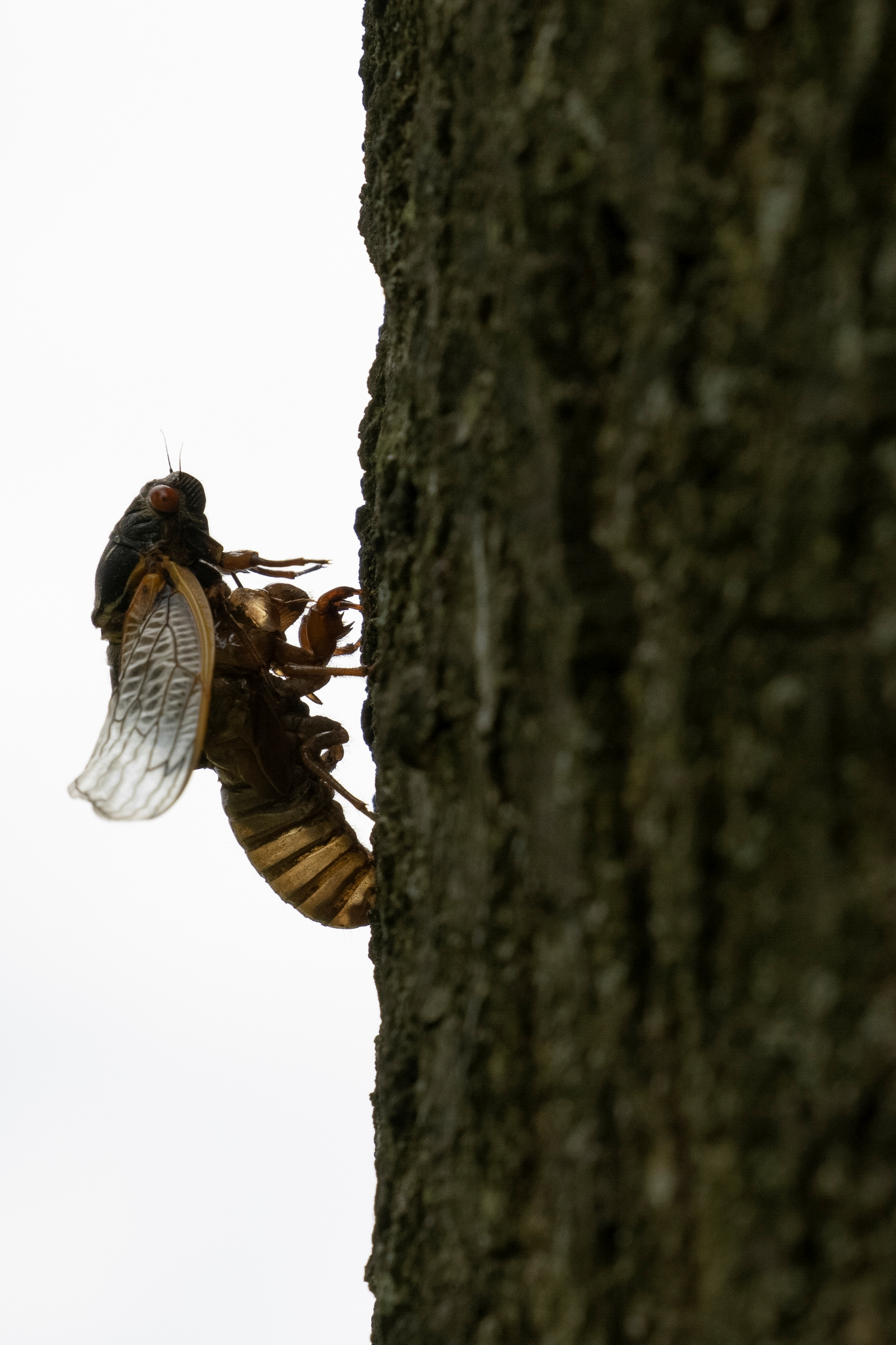 A newly emerged adult cicada dries its wings on a tree in College Park, Maryland U.S., May 14, 2021. REUTERS/Carlos Barria