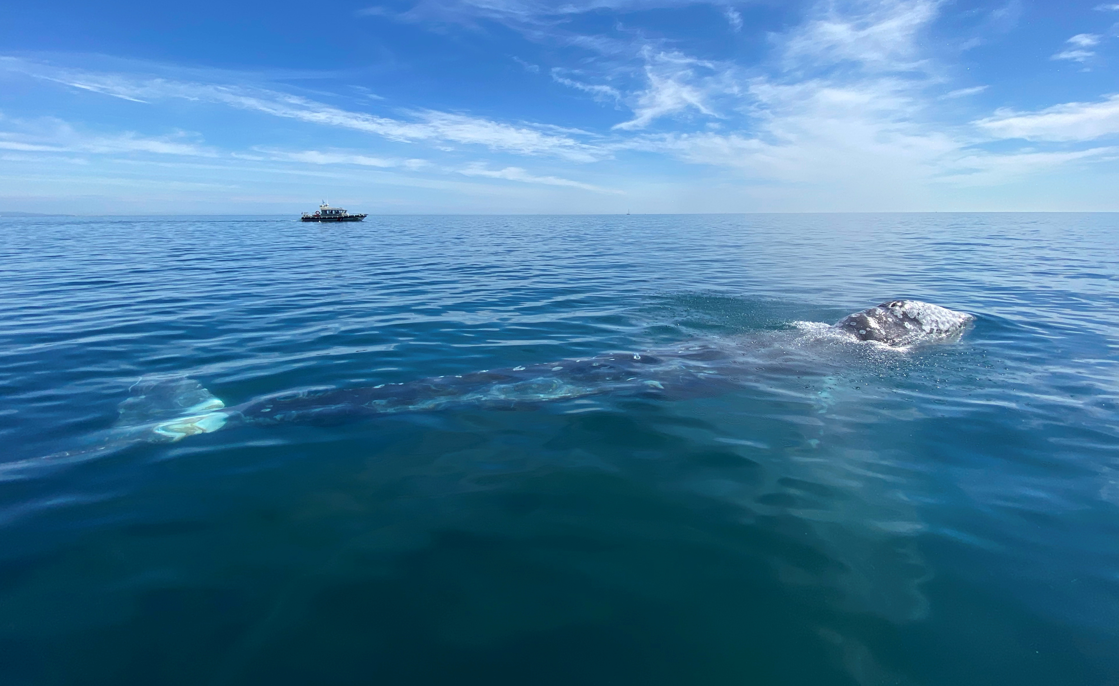 Wally, the 15 month old gray whale, swims in the Mediterranean Sea past the coast of Argeles-Sur-Mer, France, May 6, 2021. REUTERS/Alexandre Minguez