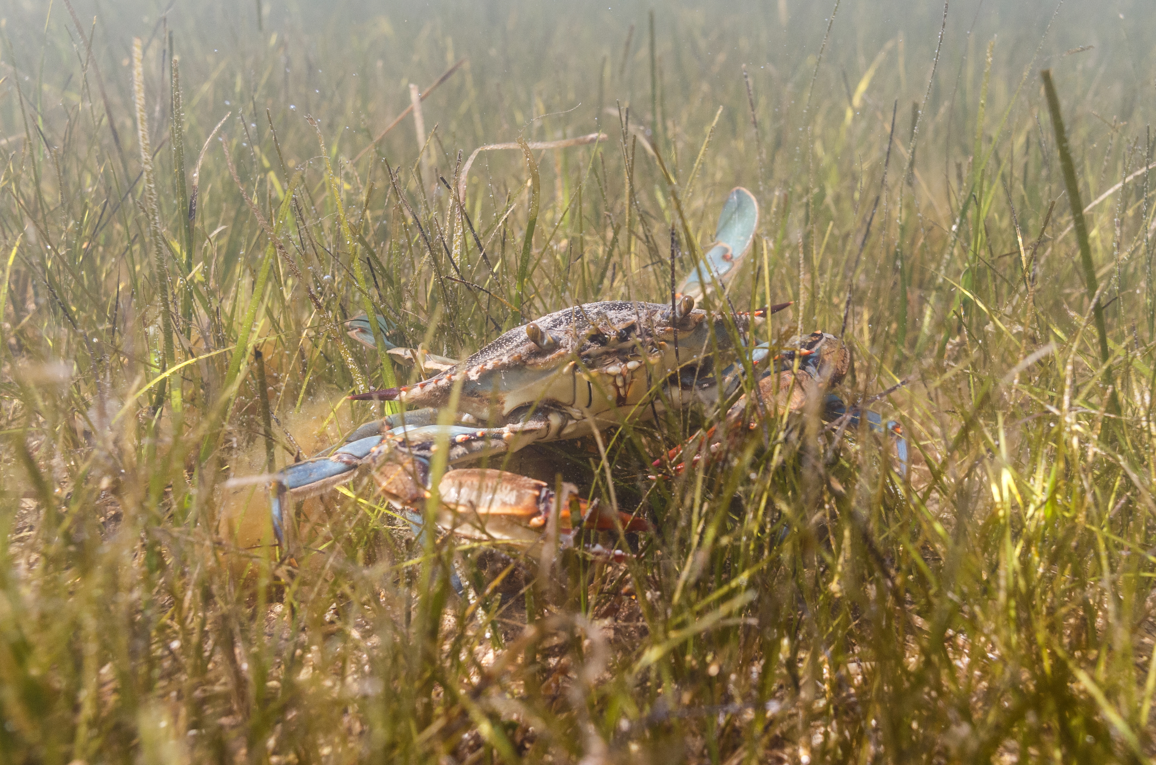 Blue crab is seen in Adriatic Sea near Ploce, Croatia, May 11, 2021. Picture taken May 11, 2021. REUTERS/Antonio Bronic