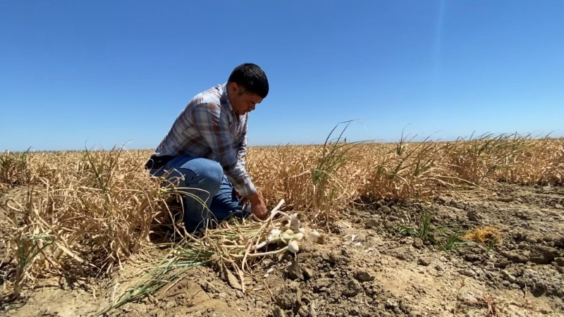 Salvador Parra, manager at Burford Ranch, is seen with a garlic crop he is preparing to harvest and sell, in Cantua Creek, California, U.S. June 15, 2021. Photo taken June 15, 2021. REUTERS/Norma Galeana