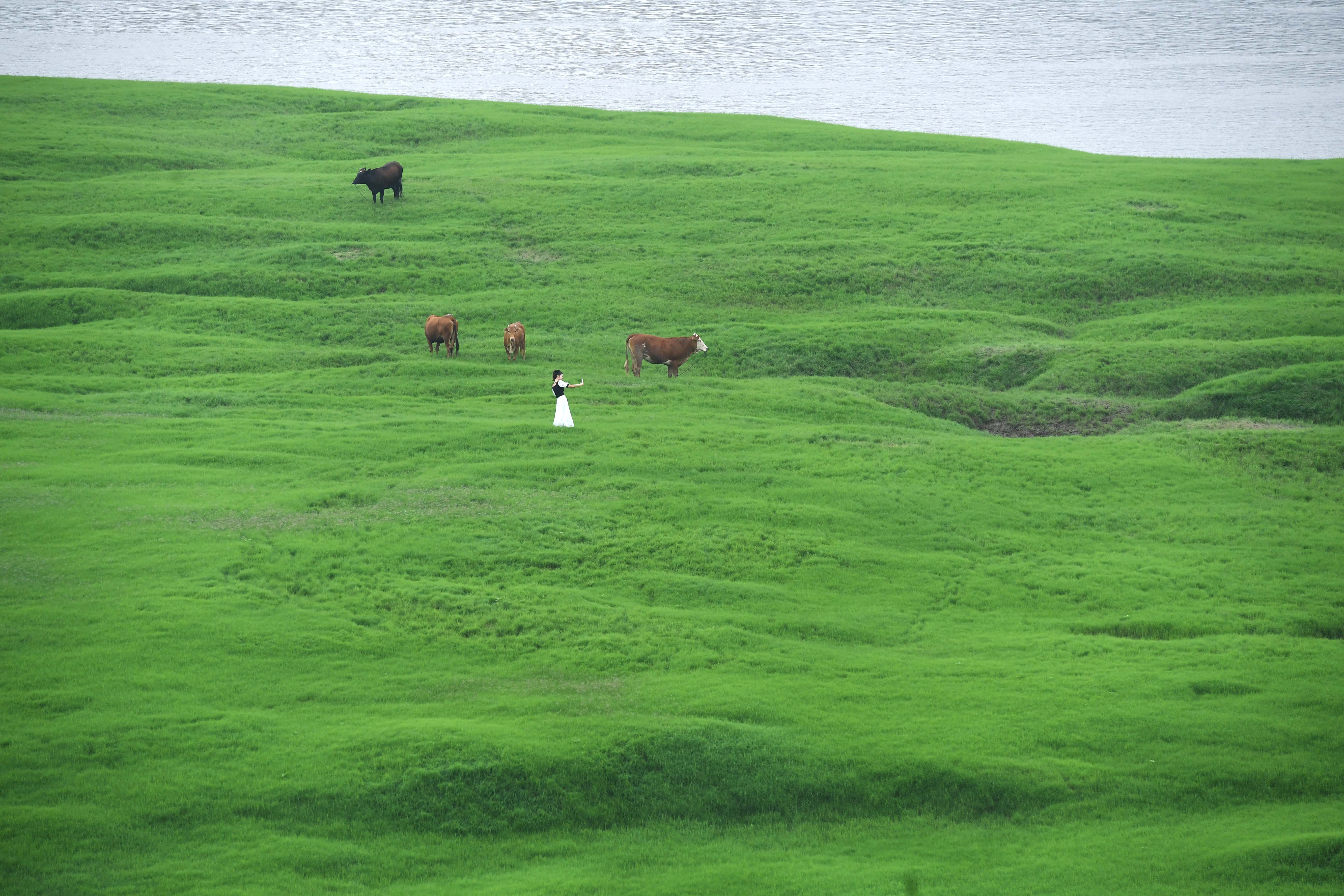 A visitor and cattle are seen on the grass-covered riverbed of the Fuling section of Yangtze river which has been affected by drought, in Chongqing, China June 4, 2020. Picture taken June 4, 2020. cnsphoto via REUTERS   ATTENTION EDITORS - THIS IMAGE WAS PROVIDED BY A THIRD PARTY. CHINA OUT.