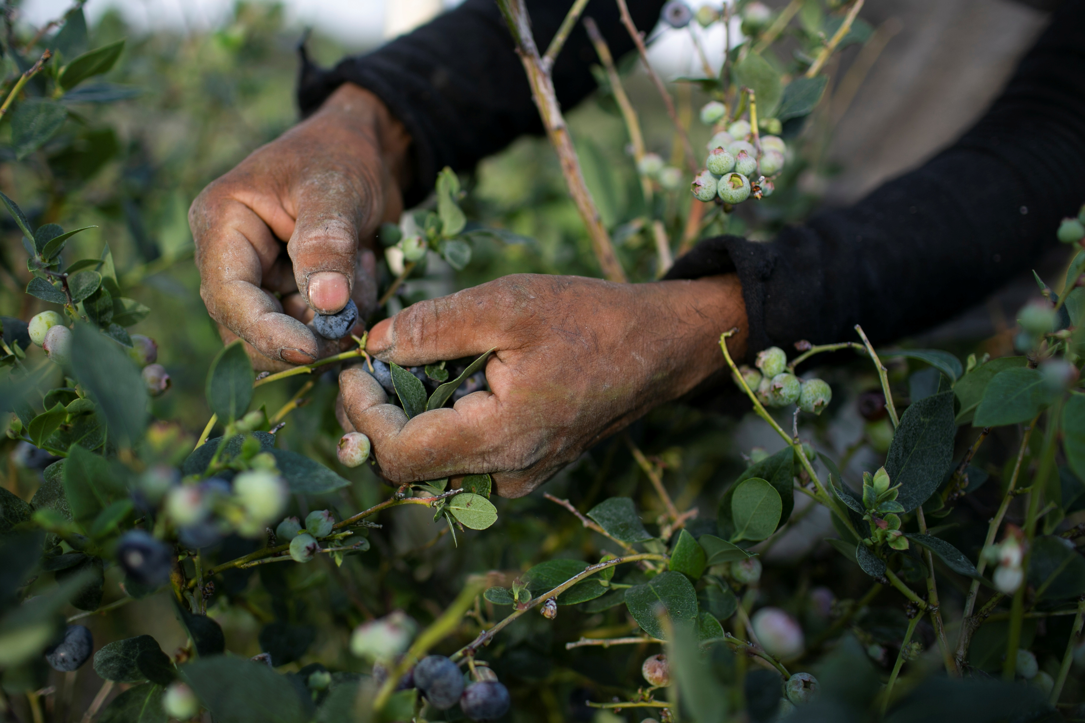 A Mexican migrant worker picks blueberries during a harvest at a farm in Lake Wales, Florida, U.S., March 31, 2020. REUTERS/Marco Bello