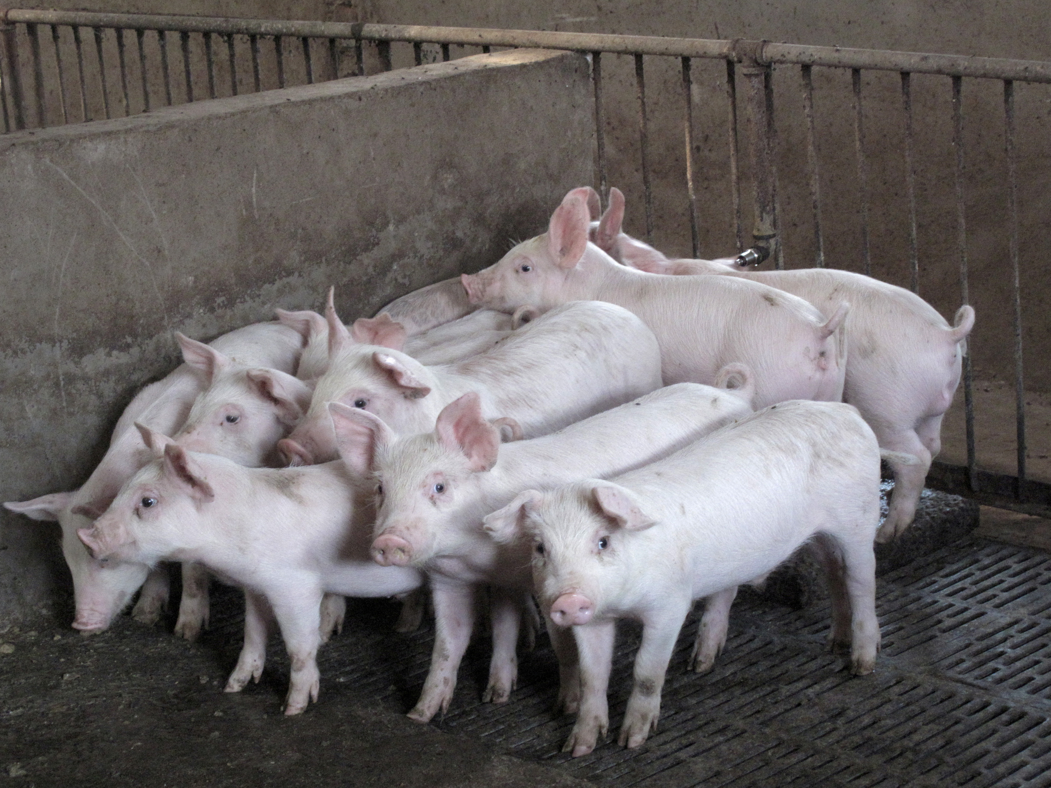 Pigs are seen at a farm in Neihuang county, Henan province, China, September 12, 2016. Picture taken September 12, 2016. REUTERS/Dominique Patton/File Photo
