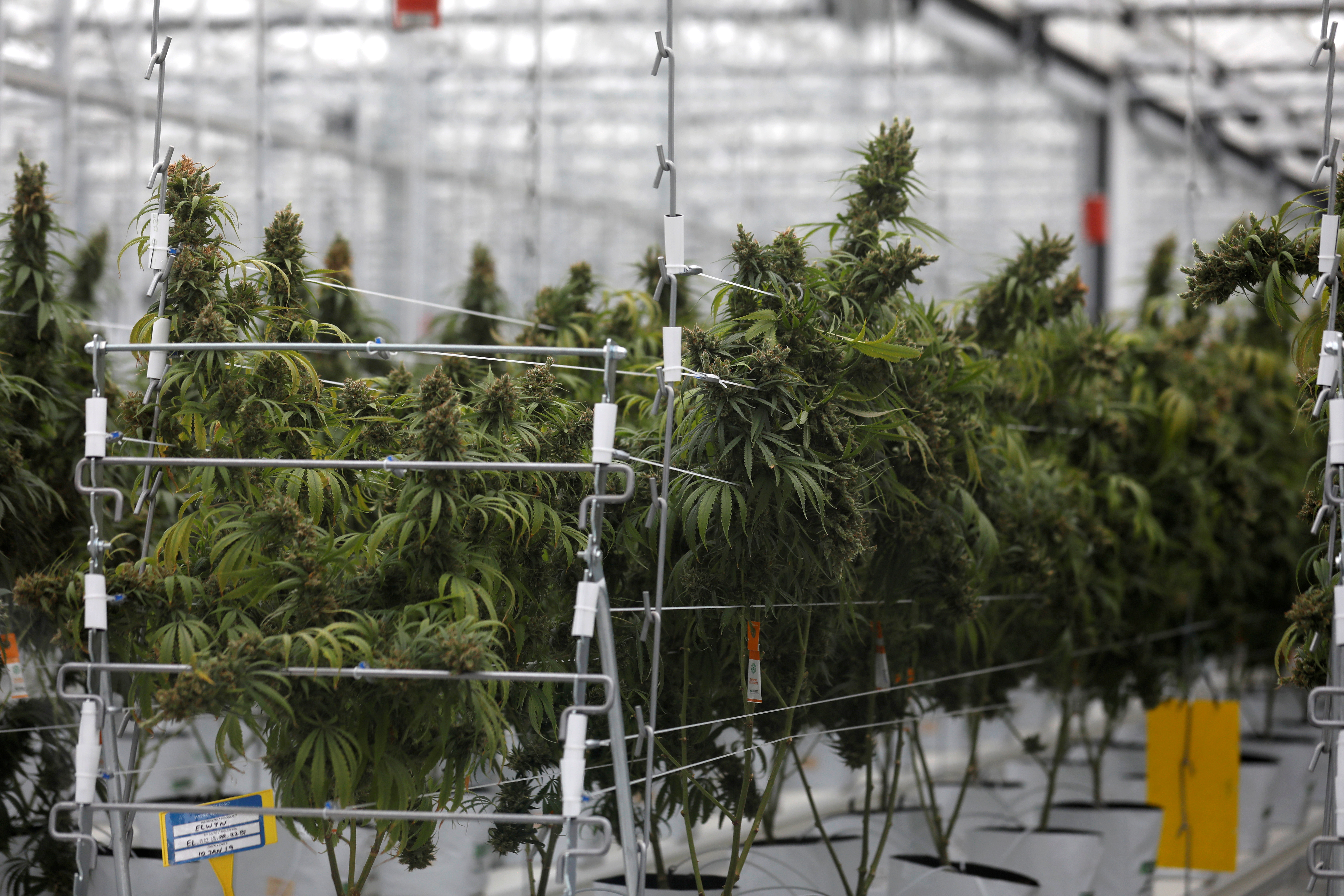 Cannabis plants grow inside the Tilray factory hothouse in Cantanhede, Portugal April 24, 2019.  REUTERS/Rafael Marchante/File Photo