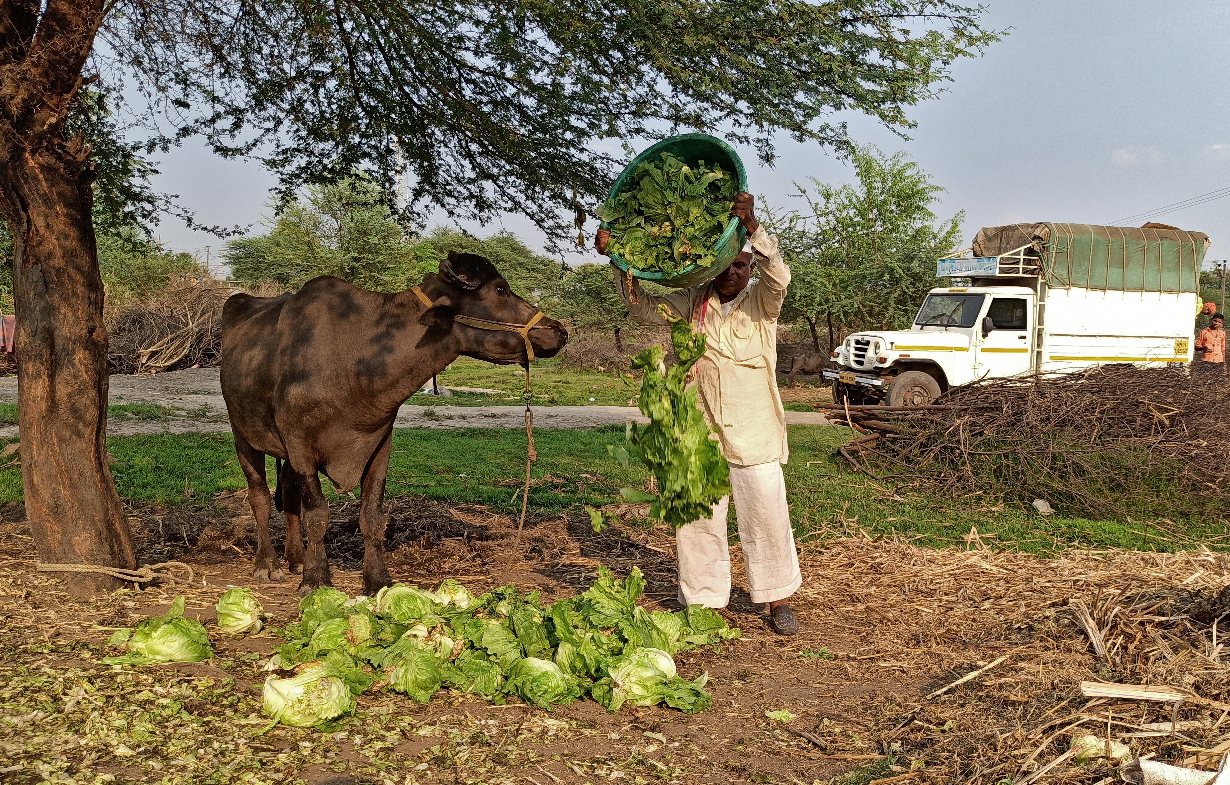 A farmer feeds iceberg lettuce to his buffalo during a 21-day nationwide lockdown to slow the spreading of coronavirus disease (COVID-19), at Bhuinj village in Satara district in the western state of Maharashtra, India, April 1, 2020. REUTERS/Rajendra Jadhav/File Photo
