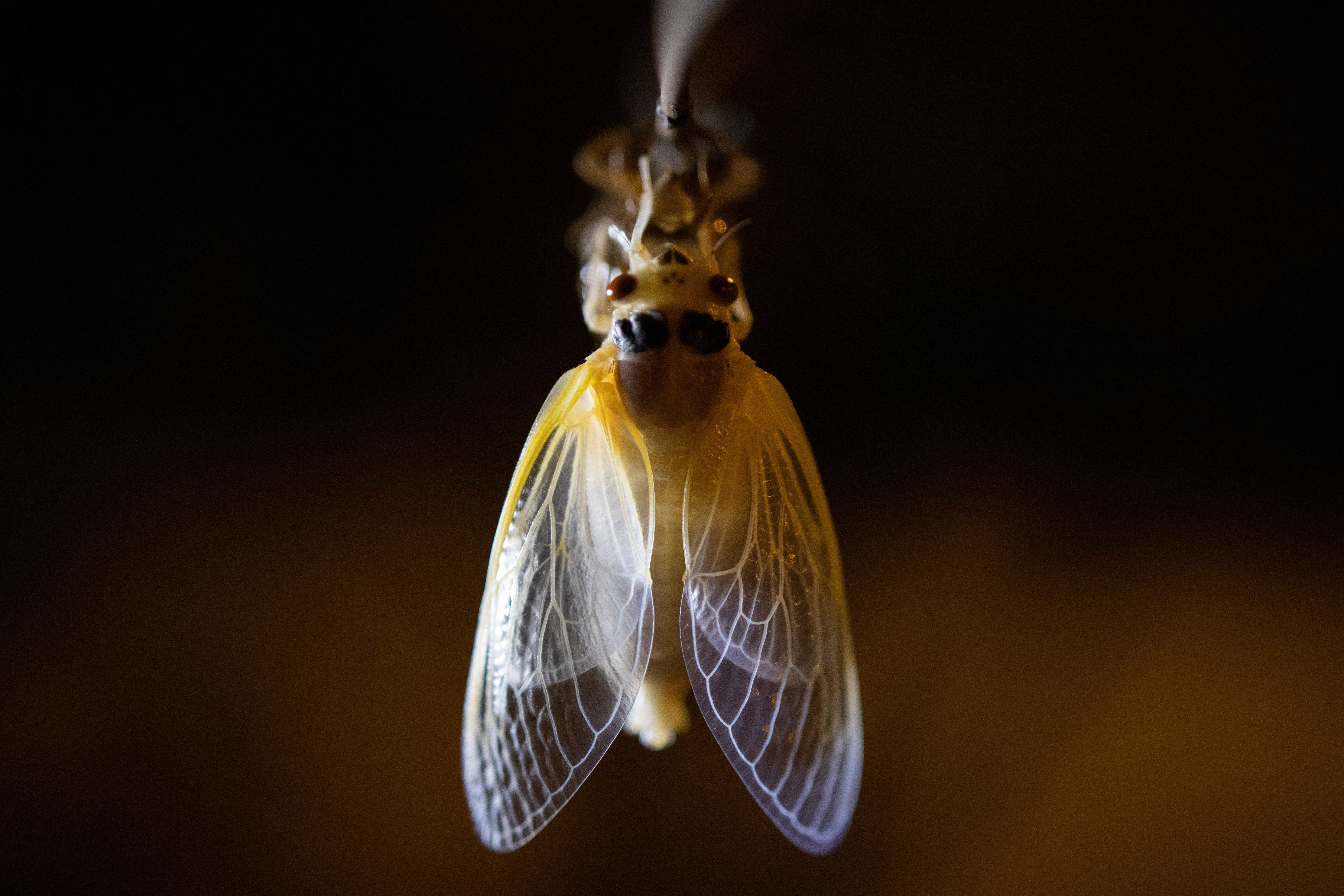 A newly emerged adult cicada dries its wings on a tree near Rock Creek park in Washington D.C., May 18, 2021. REUTERS/Carlos Barria
