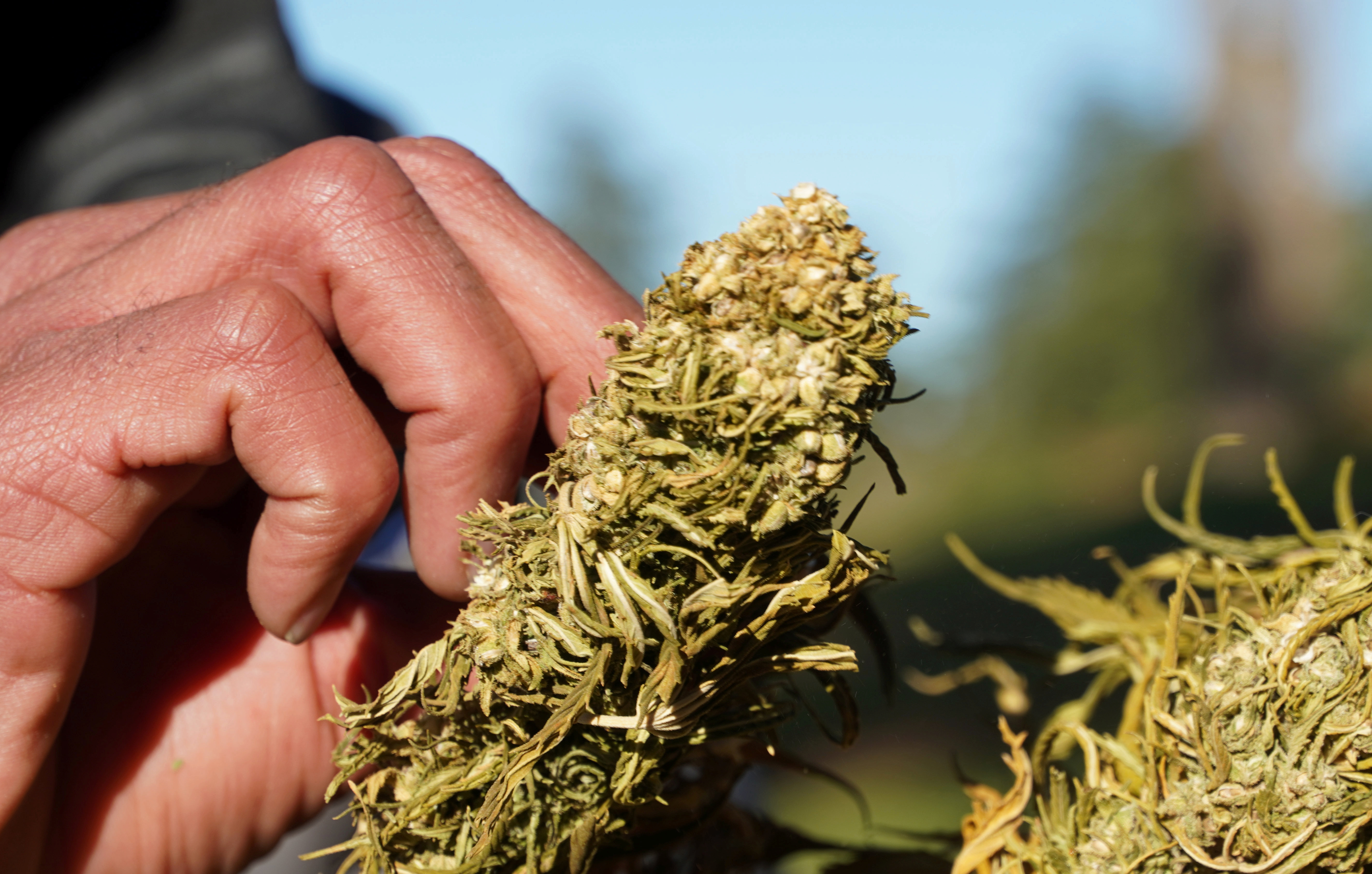 A farmer tends to dried cannabis bundle in Ketama, in the northern Rif mountains, Morocco March 12, 2021. Picture taken March 12, 2021. REUTERS/Stringer
