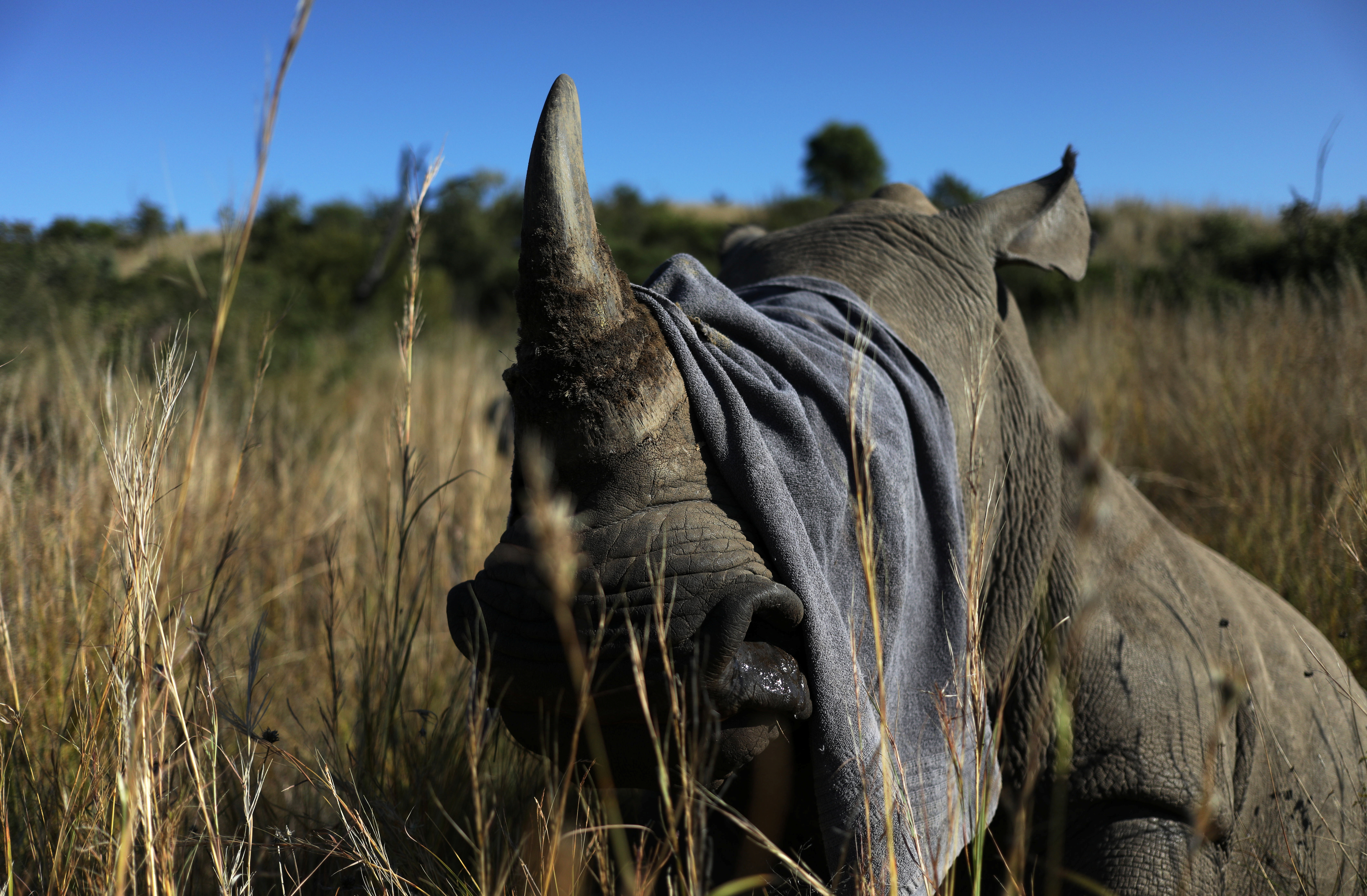 A towel is used to cover the eyes of a tranquillised rhino before it is dehorned in an effort to deter poaching, amid the spread of the coronavirus disease (COVID-19), at the Pilanesberg Game Reserve in North West Province, South Africa, May 12, 2020.   REUTERS/Siphiwe Sibeko