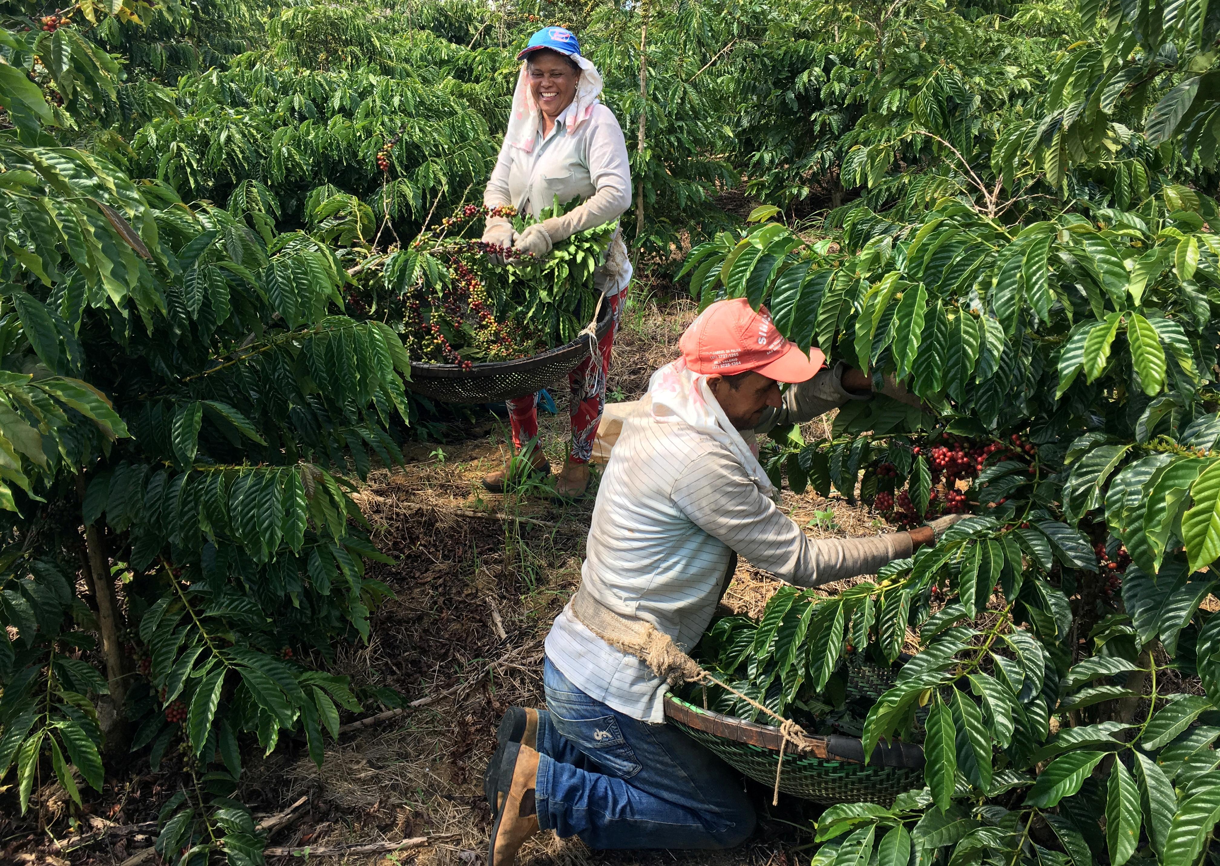 Workers harvest robusta coffee in Sao Gabriel da Palha, Espirito Santo state, Brazil May 2, 2018. Picture taken May 2, 2018. REUTERS/Jose Roberto Gomes