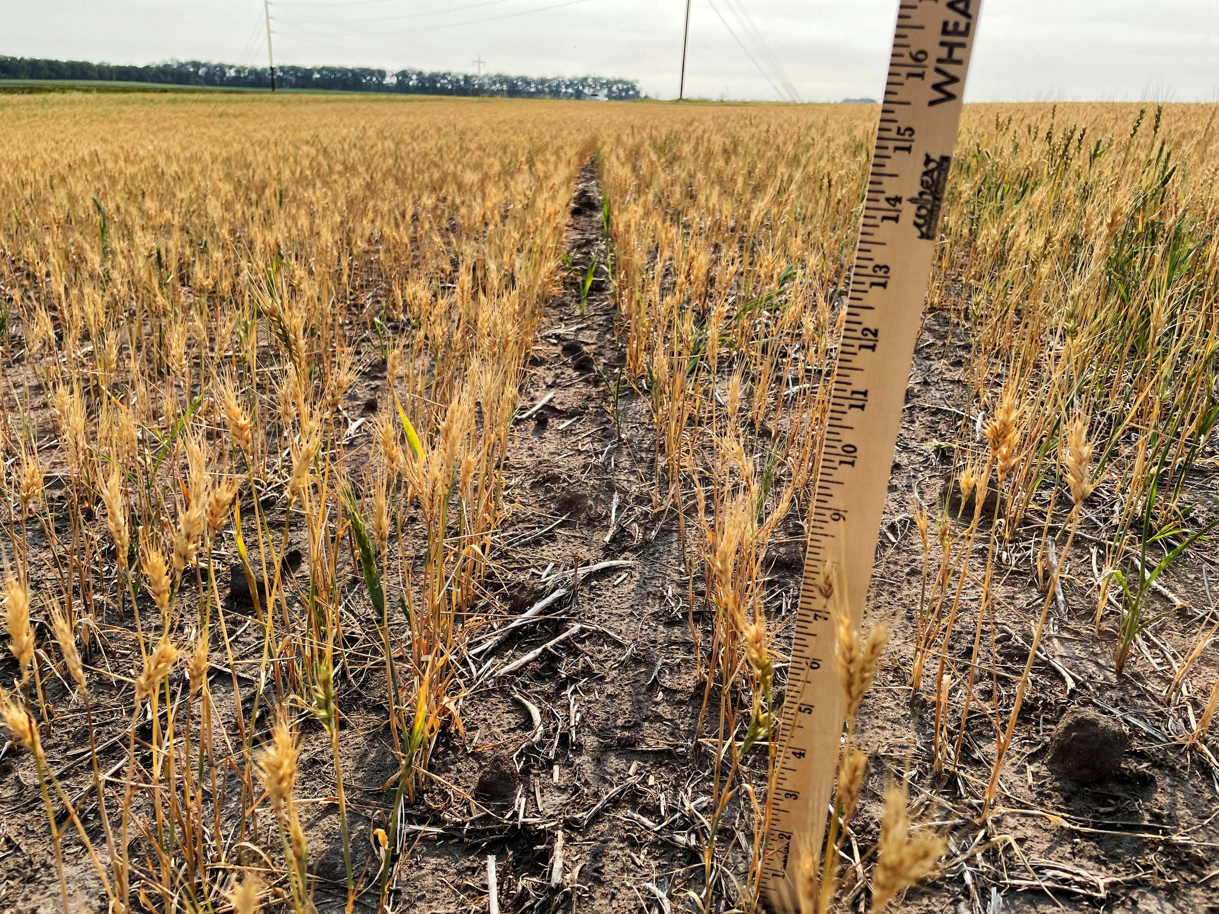 Spring wheat plants stunted by drought stress near Larimore, North Dakota, U.S. July 29, 2021.  REUTERS/Karl Plume