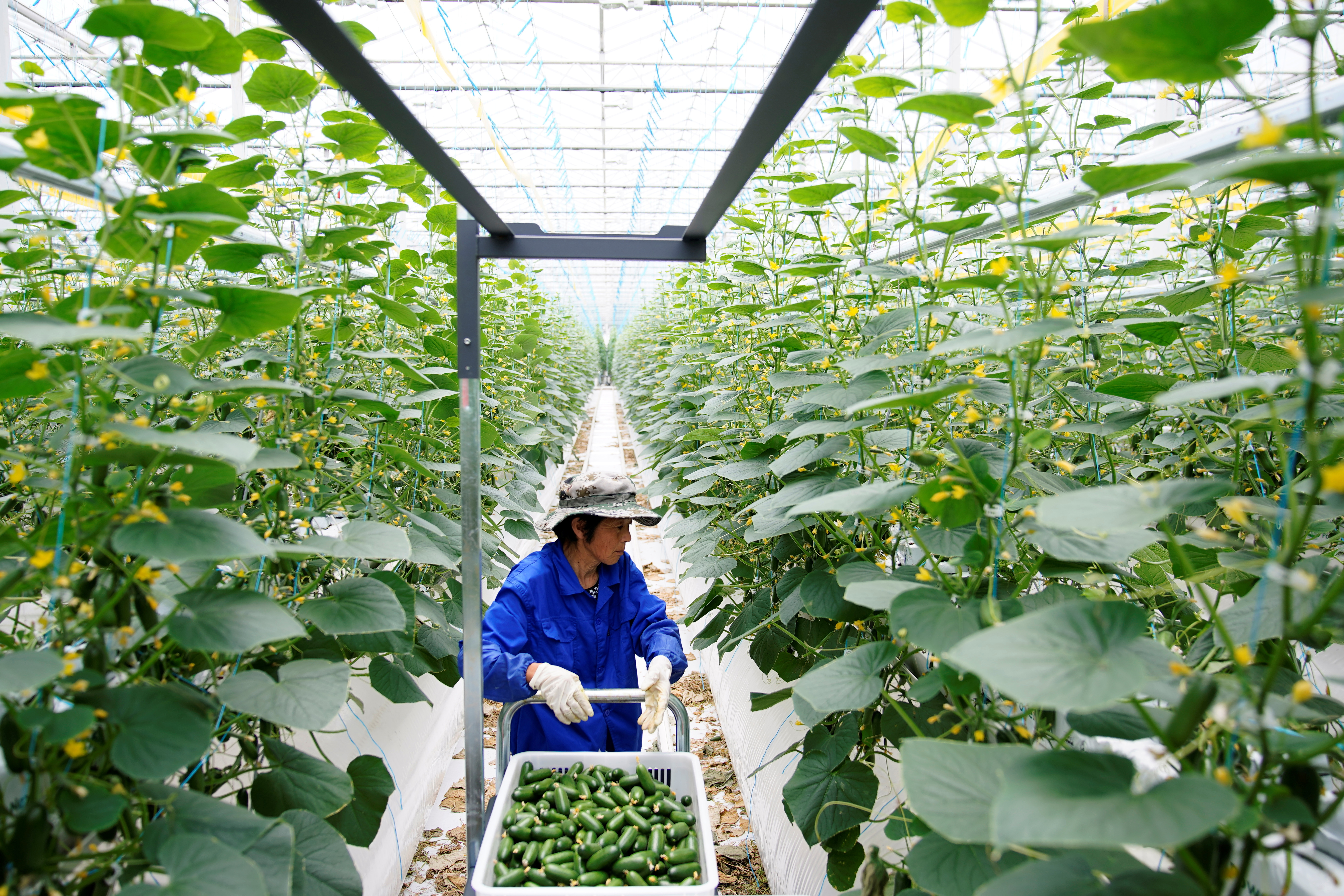 A farmer gathers cucumbers at Hengda greenhouse in Shanghai, China May 25, 2021. REUTERS/Aly Song
