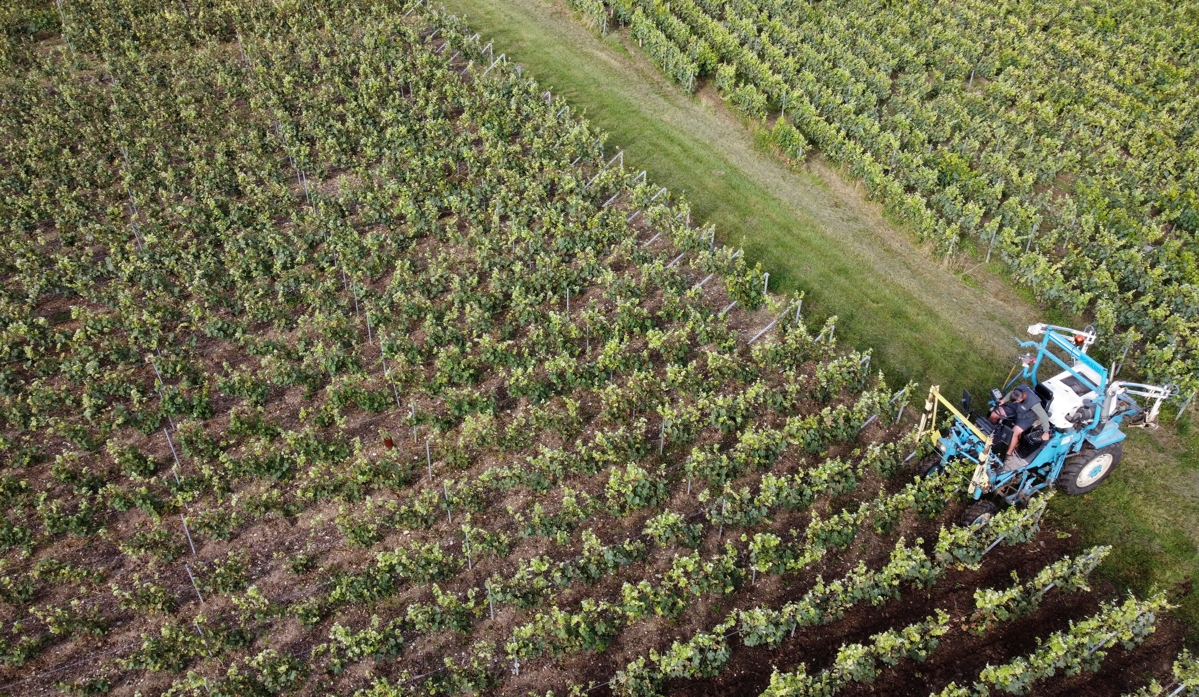 Champagne vineyards that suffered damages by mildew fungus due to heavy rainfall earlier this month are seen in Le Breuil, France July 30, 2021. Picture taken with a drone. REUTERS/Yiming Woo/File Photo