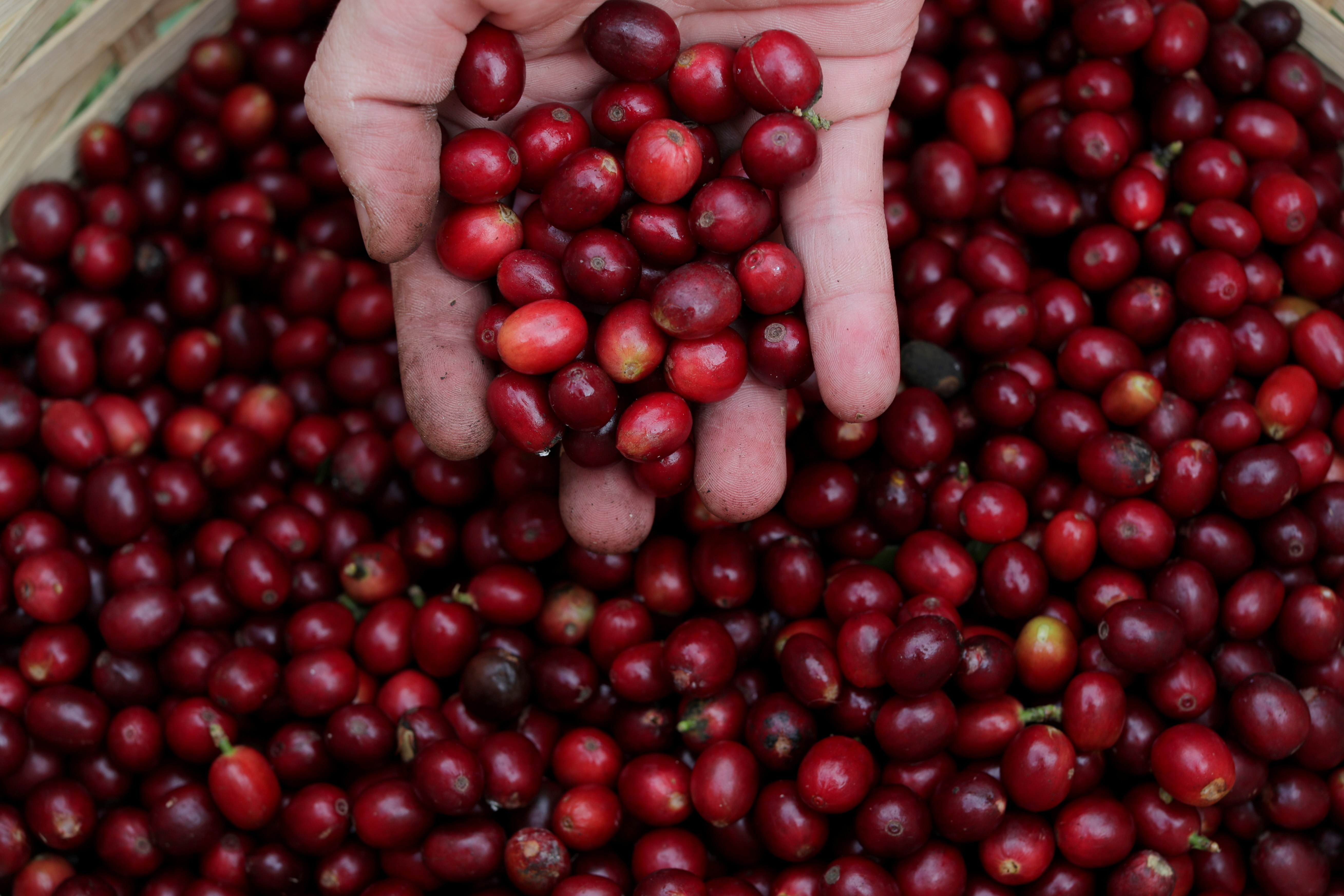 A man holds coffee berries at the Biological Institute plantation in Sao Paulo, Brazil May 8, 2021. REUTERS/Amanda Perobelli