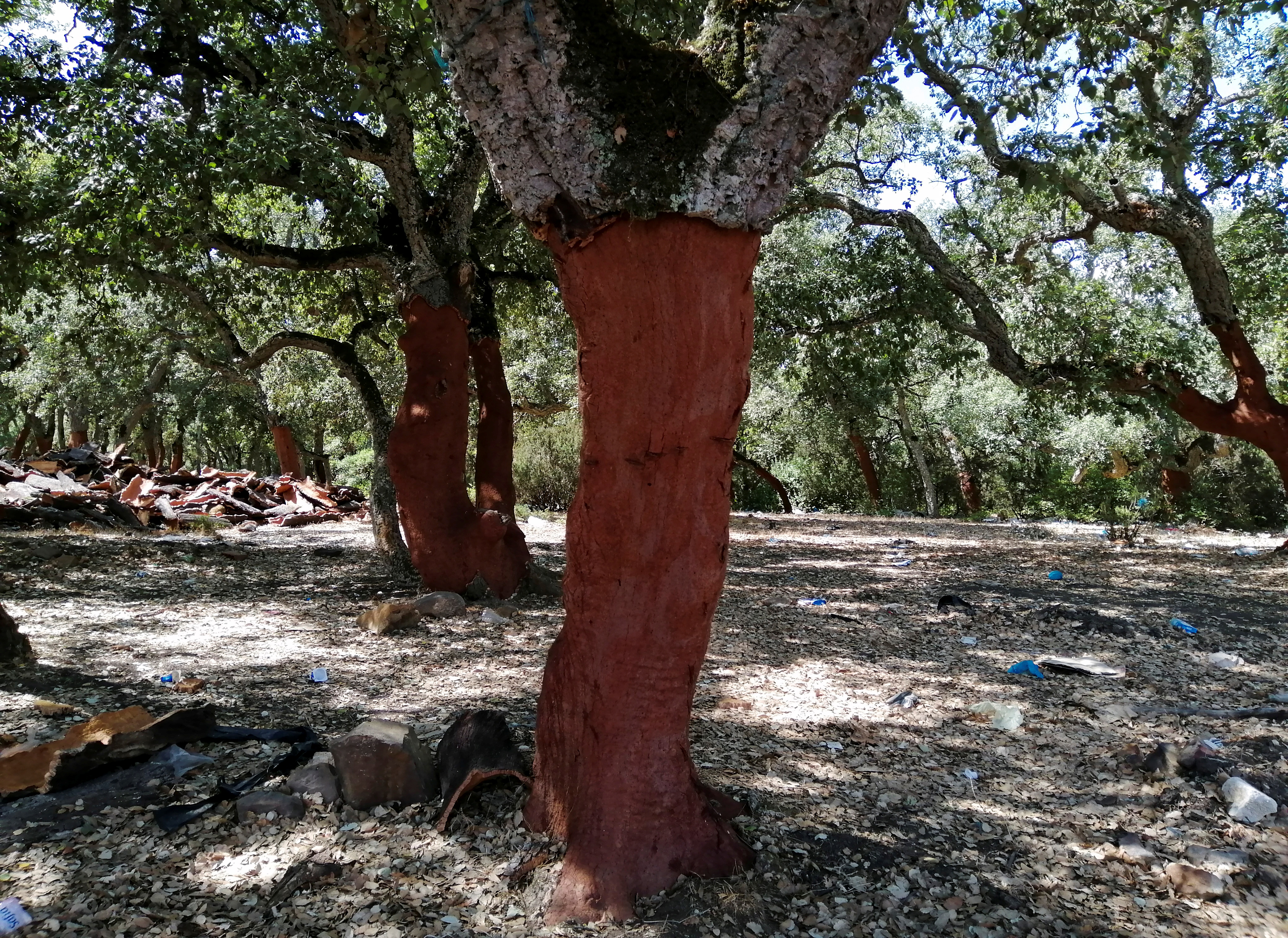 The trunk of a cork tree is seen after having its cork bark harvested in Ain Draham in Jendouba, Tunisia, September 10, 2021. Picture taken September 10, 2021. REUTERS/Jihed Abidellaoui