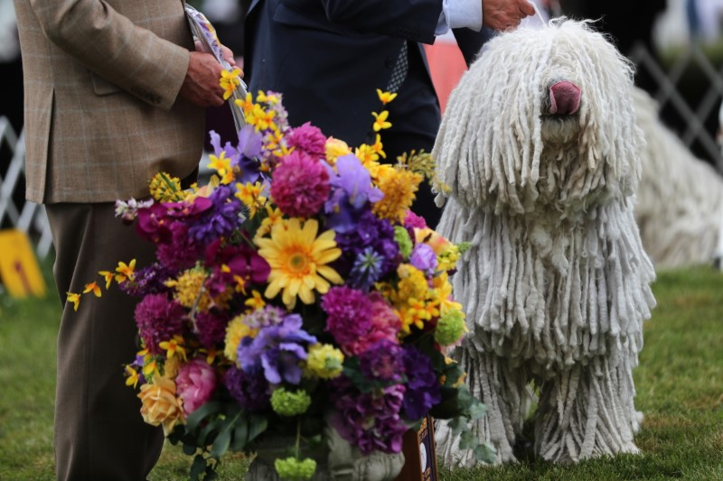 Attison, winner of Best in Breed for Komondorok dogs, stands with his handler after breed judging at the 145th Westminster Kennel Club Dog Show at Lyndhurst Mansion in Tarrytown, New York, U.S., June 13, 2021. REUTERS/Mike Segar