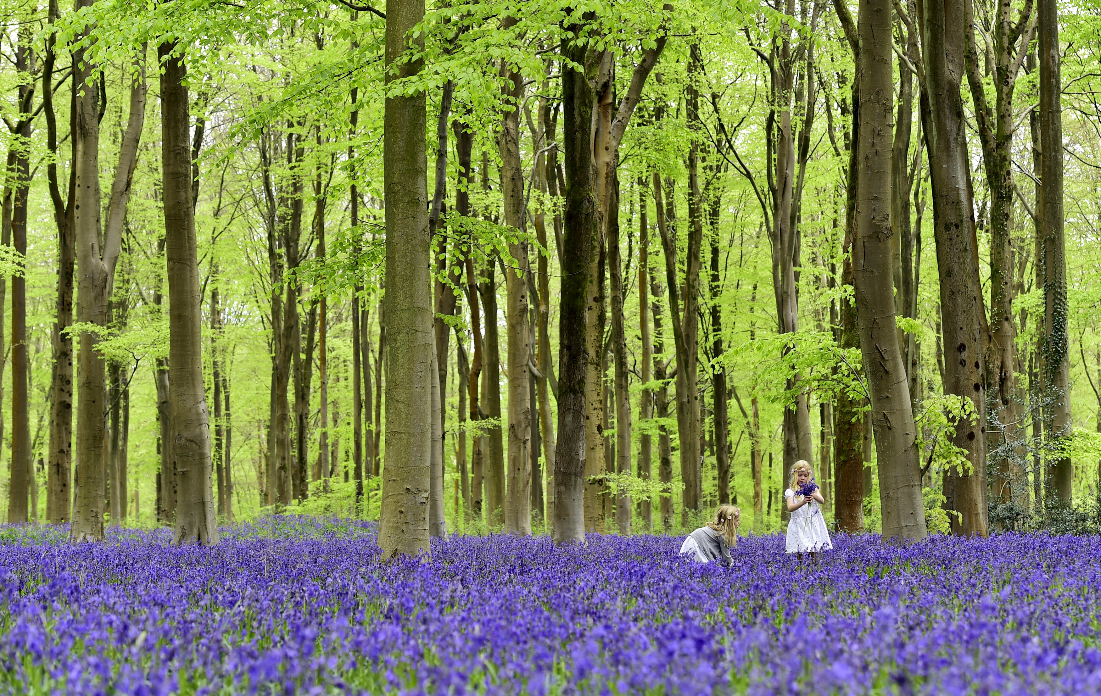 Local youngsters Bella (L) and Daisy walk through a forest covered in bluebells near Marlborough in southern England, May 4, 2015. REUTERS/Toby Melville