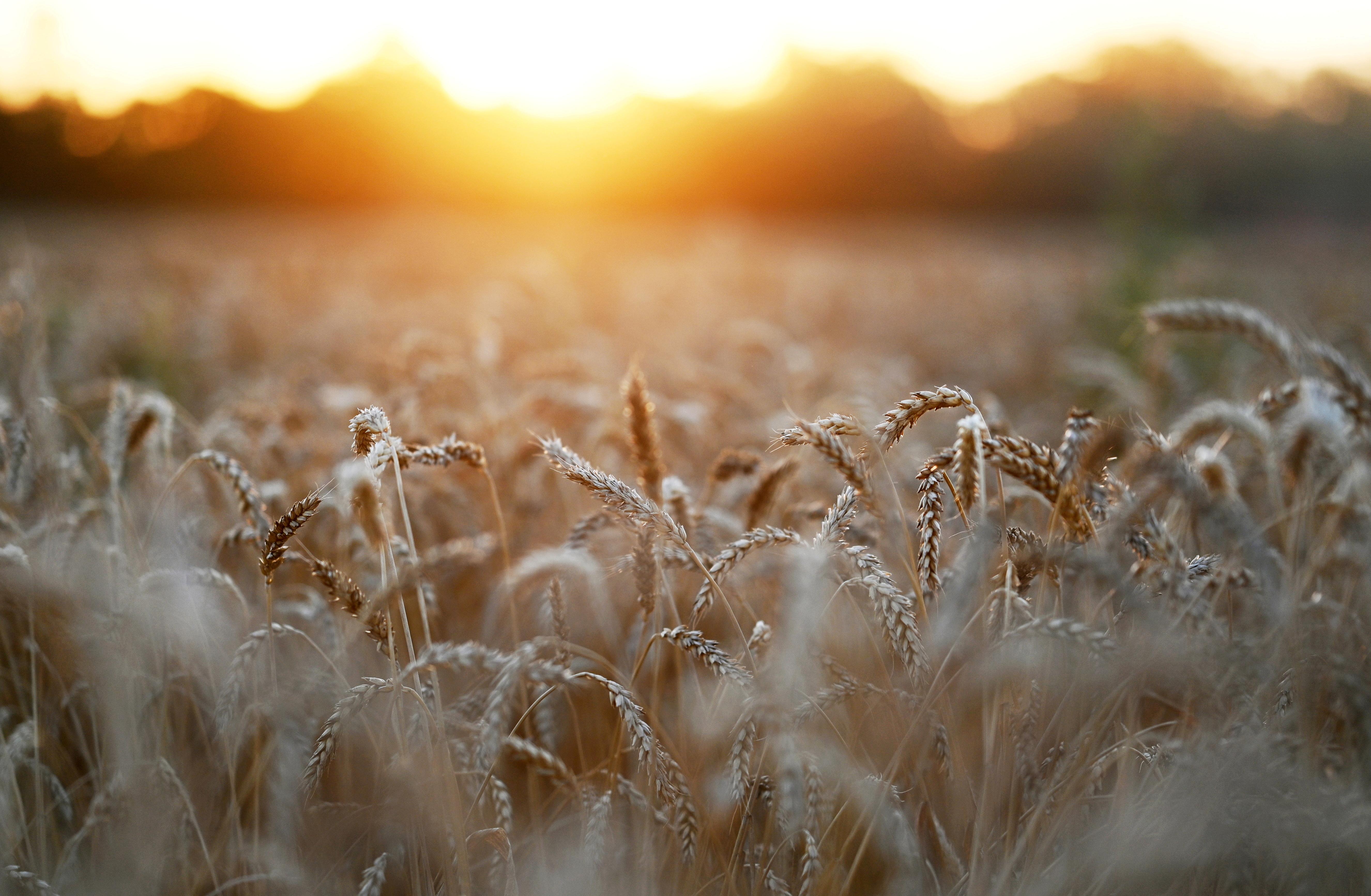 13年2021月XNUMX日、ロシアのロストフ州にあるネドヴィゴフカ村の近くの畑で、日没時に小麦の穂が見られます。REUTERS/ Sergey Pivovarov