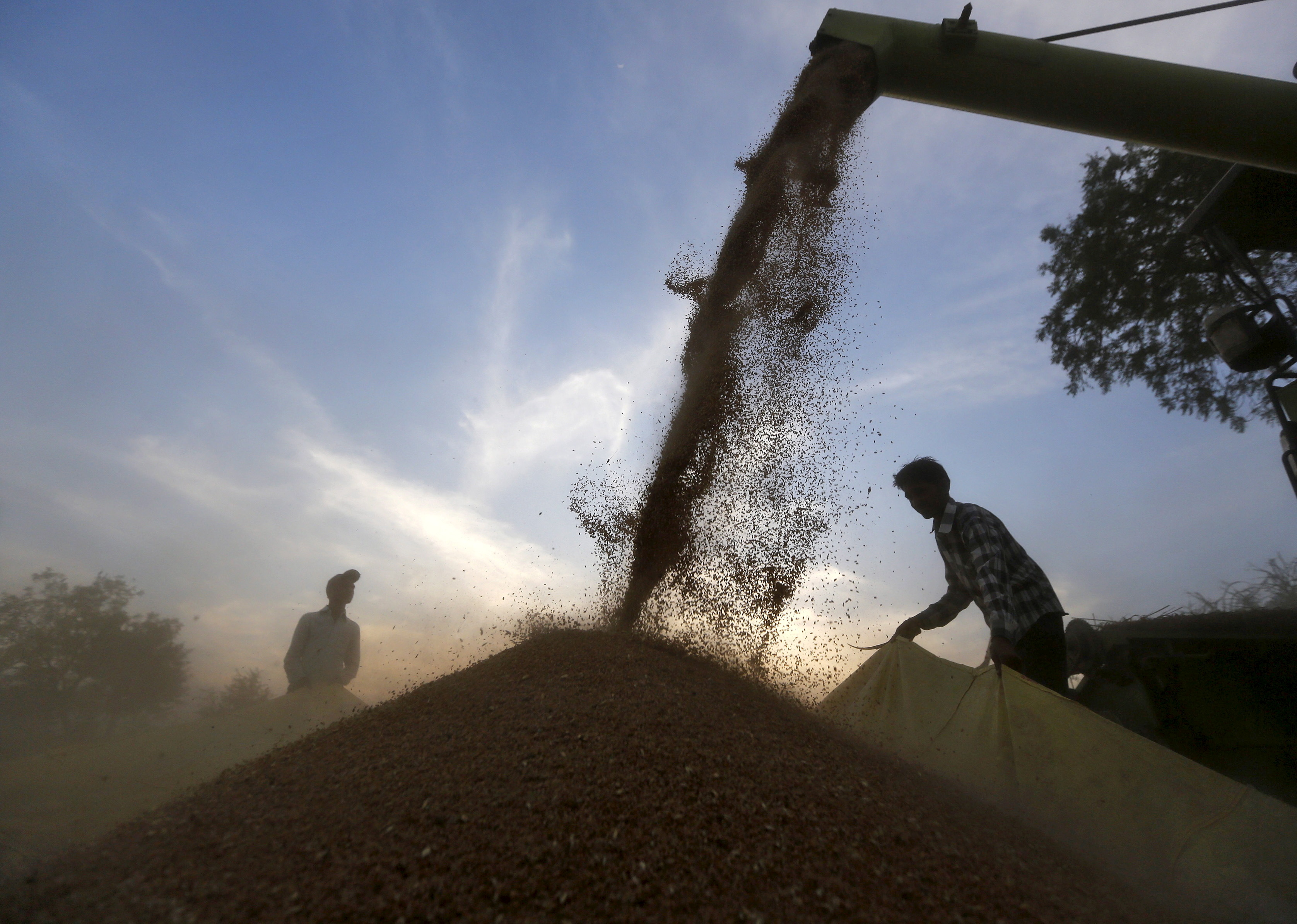 A harvester is used to deposit wheat crop on a tarpaulin in a field on the outskirts of the western Indian city of Ahmedabad March 24, 2015. REUTERS/Amit Dave/File Photo
