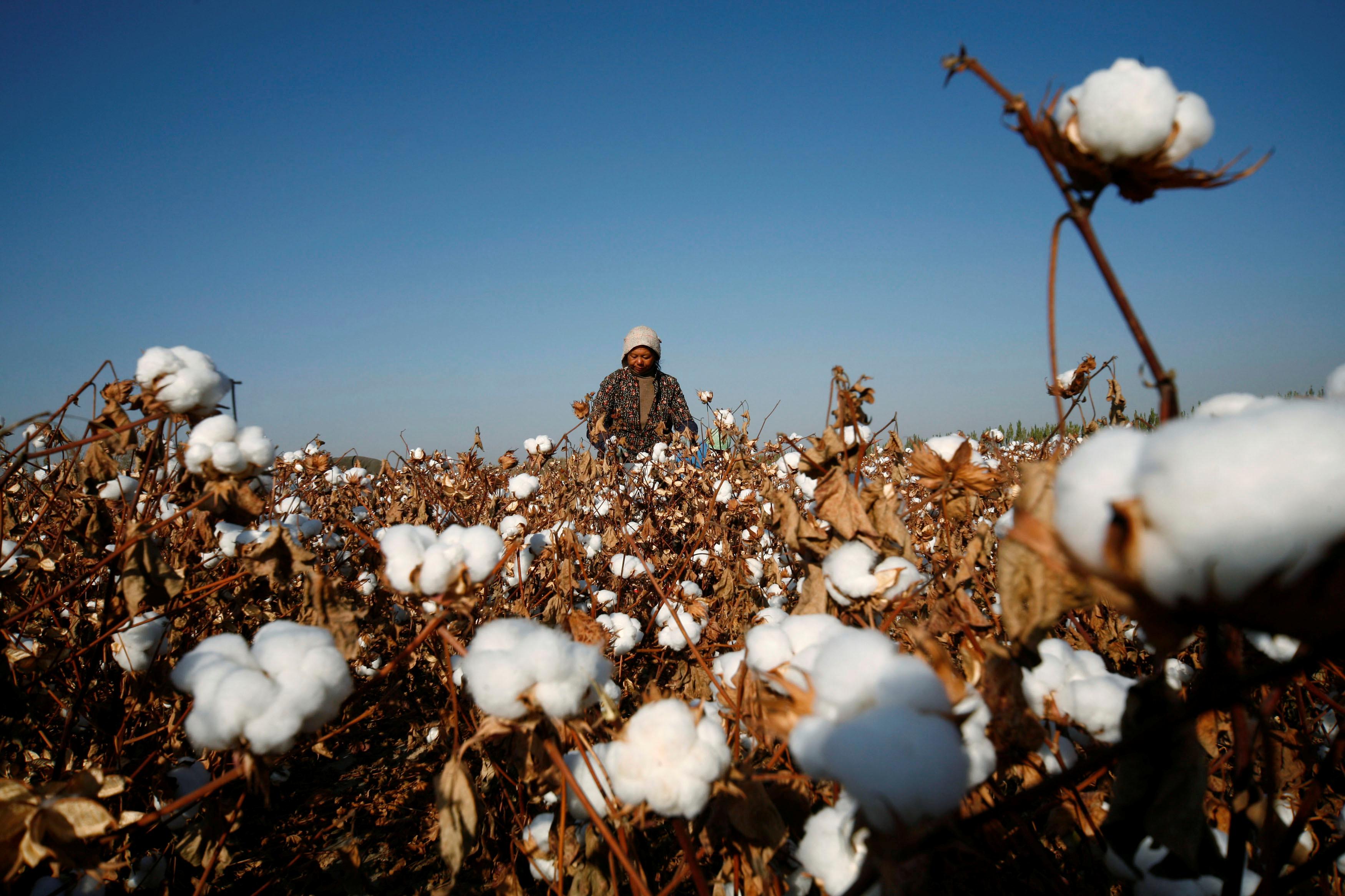 A farmer picks cotton on a farm on the outskirts of Hami, Xinjiang Uighur Autonomous Region November 3, 2010. REUTERS/Stringer