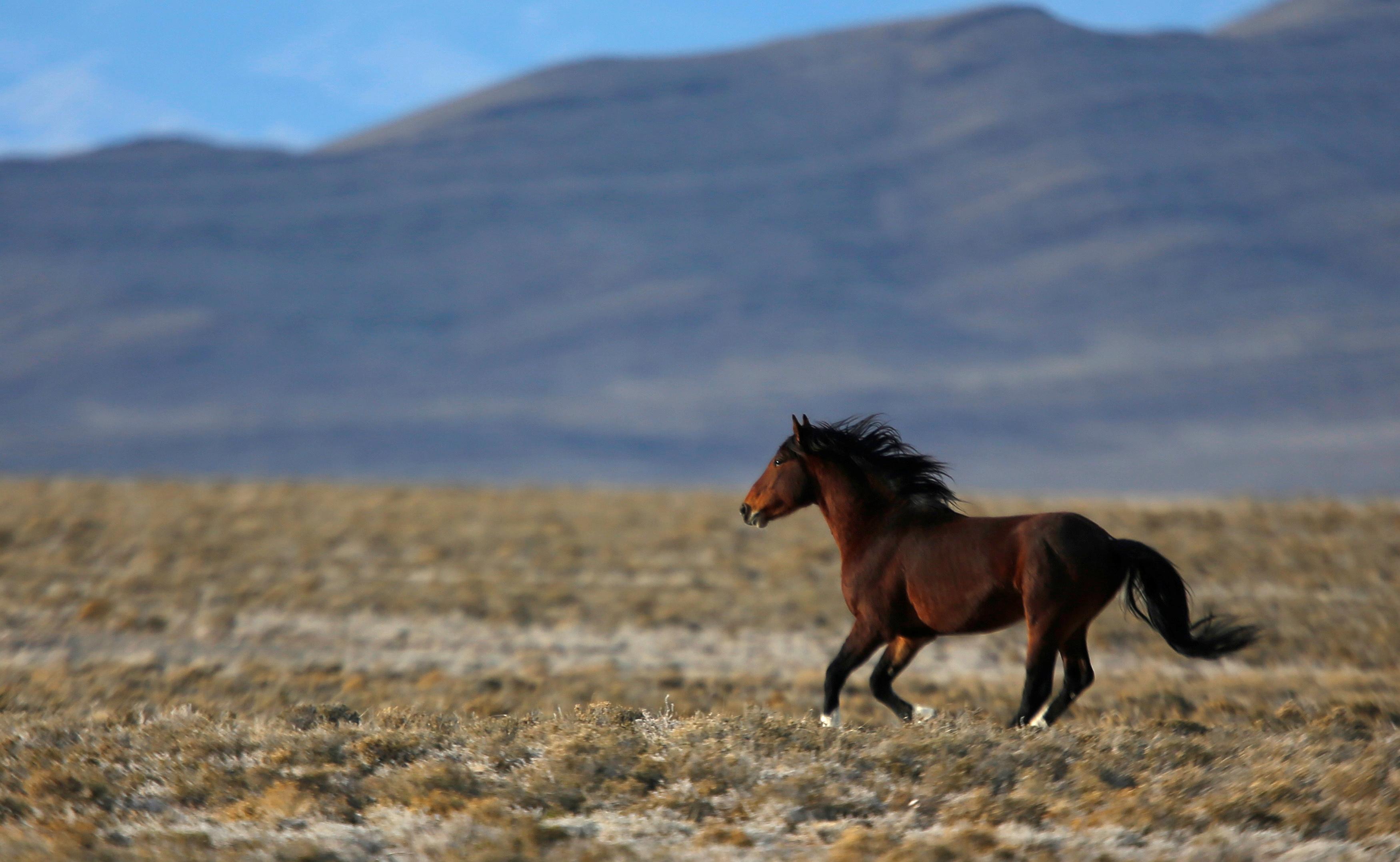 A wild horse gallops across a range as the Bureau of Land Management (BLM) gathers horses along Highway 21 near the Sulphur Herd Management Area south of Garrison, Utah, February 25, 2015. REUTERS/Jim Urquhart/File Photo