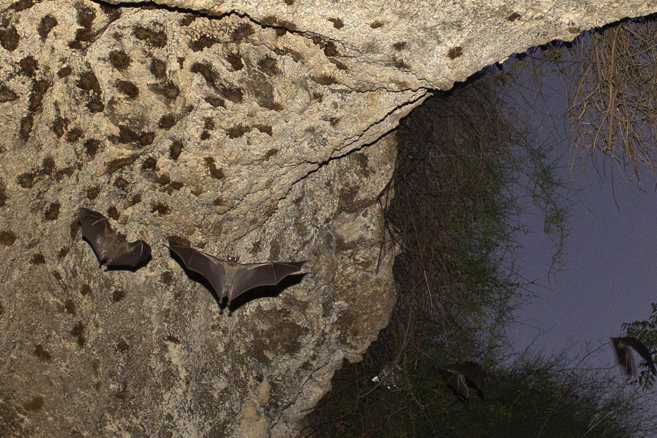 Bats fly in a cave in Herzliya, near Tel Aviv July 31, 2012.REUTERS/Nir Elias