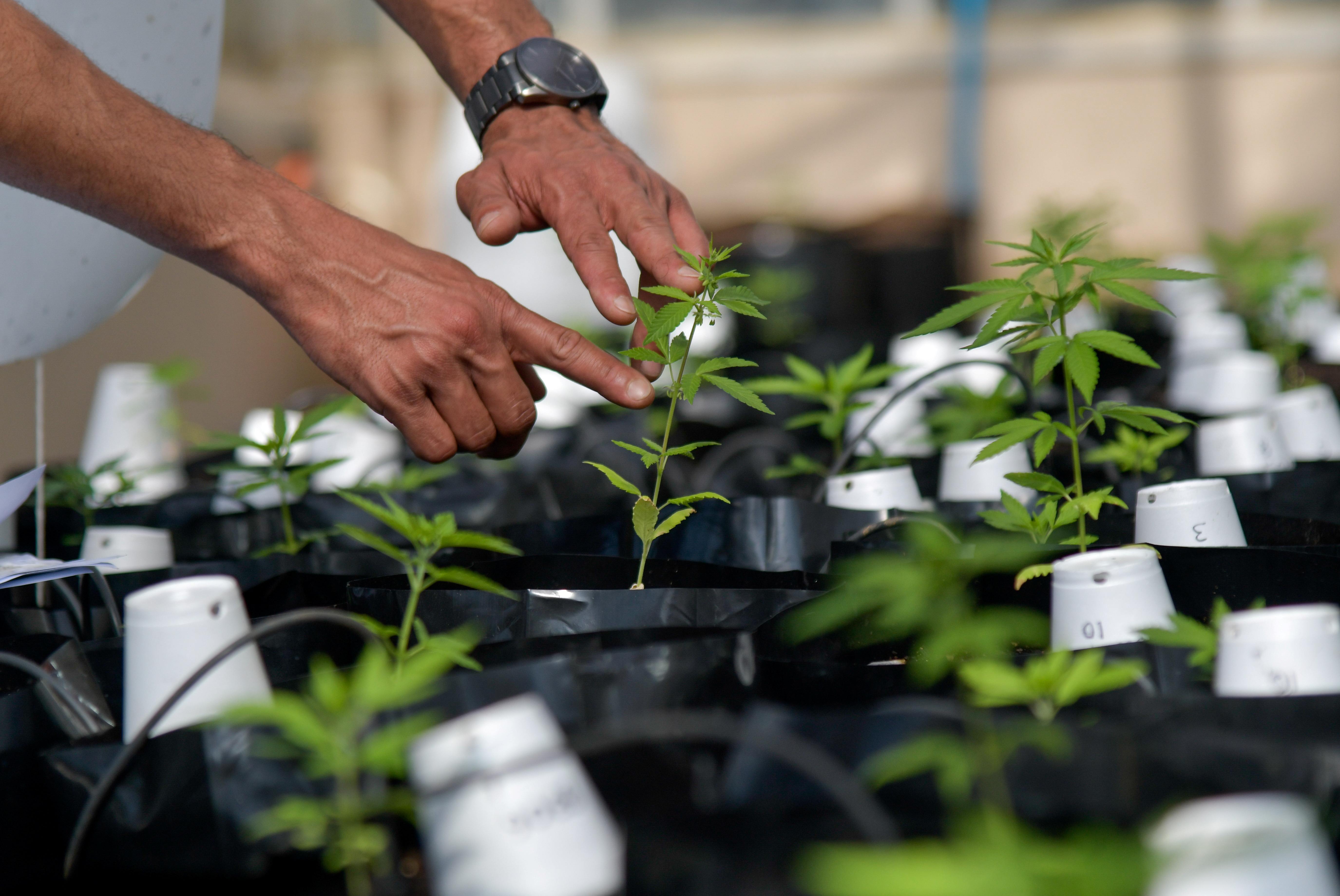 Agronomist Engineer Sergio Rocha, 36, Executive Director of the cannabis cultivation for research and cultivation project, works inside of a greenhouse at the Federal University of Vicosa, Minas Gerais state, Brazil, August 18, 2021. Picture taken August 18, 2021. REUTERS/Washington Alves