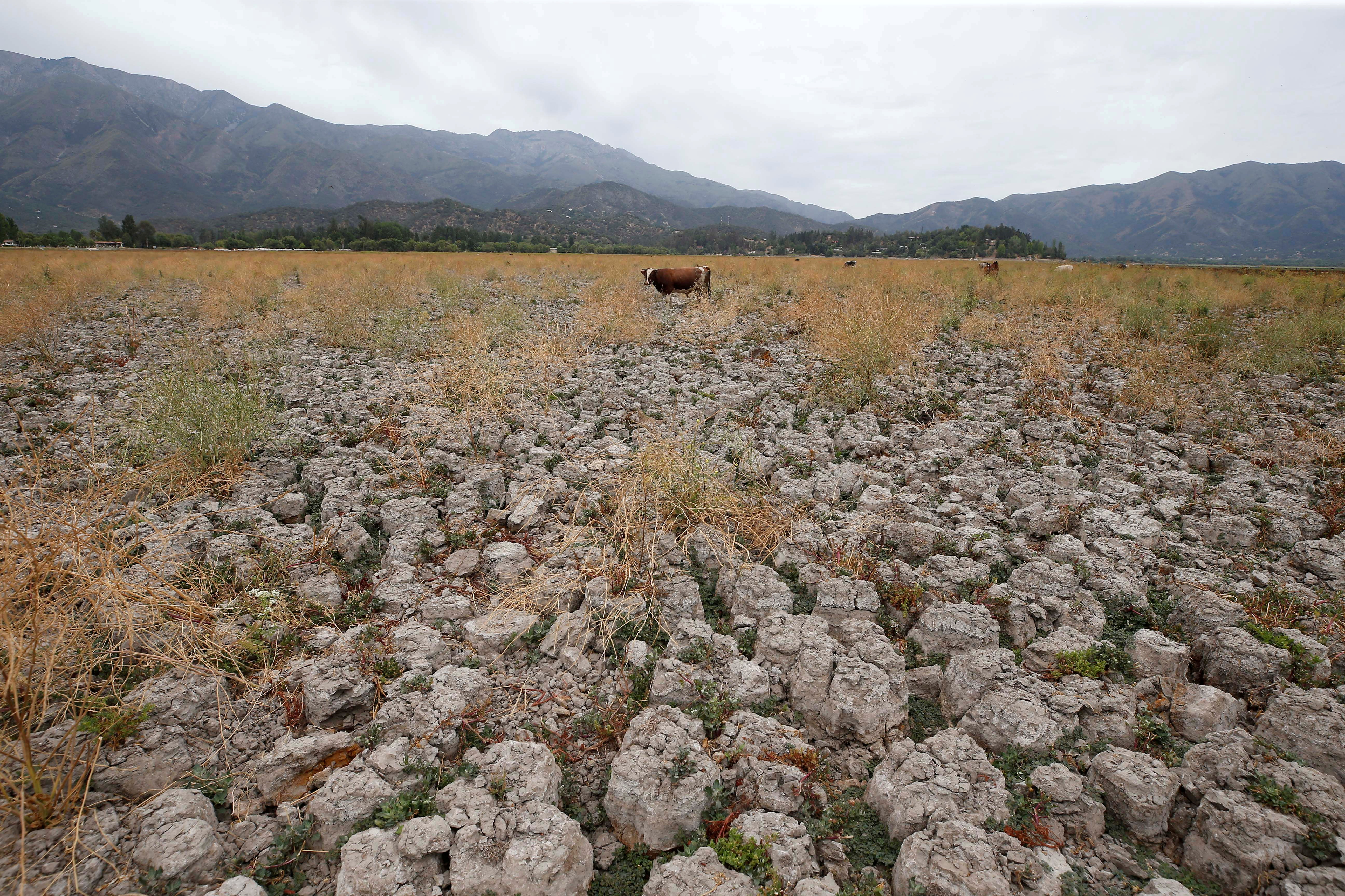 A cow stands on land that used to be filled with water, at the Aculeo Lagoon in Paine, Chile January 9, 2019. Picture taken January 9, 2019. REUTERS/Rodrigo Garrido/File Photo