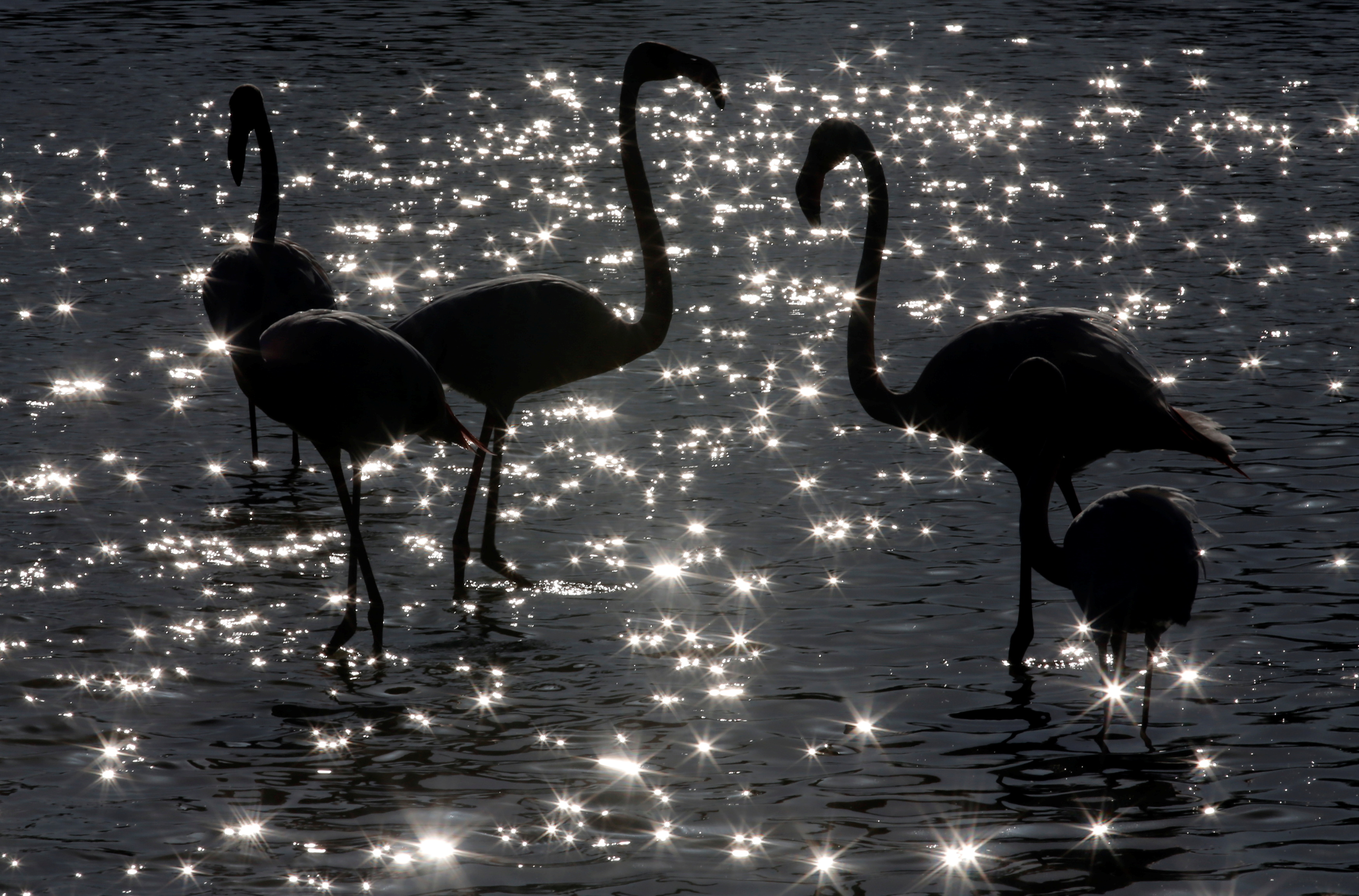 Sunlight sparkles off the water's surface as pink flamingos gather in the Camargue regional natural park, near Arles, southern France, April 12, 2015. Situated in the delta of the Rhone River on the French Mediterranean coast, classified by UNESCO, the Camargue Biosphere Reserve is made up of a mosaic of lagoons of fresh, brackish and saline wetlands, one of the most important in Europe. The Camargue covers an area of over 930 km (360 square miles) with an exceptional biological diversity and home to unique breeds of horses and bulls, and more than 400 species of birds including pink flamingos.  The marshy land could be impacted by climate changes and coastal erosion in the future as one scientific model for the year  2100 predicts the ocean level rising 50 cm above current levels, and another estimating a 1 metre level rise.  Picture taken April 12, 2015.   REUTERS/Jean-Paul Pelissier/File Photo