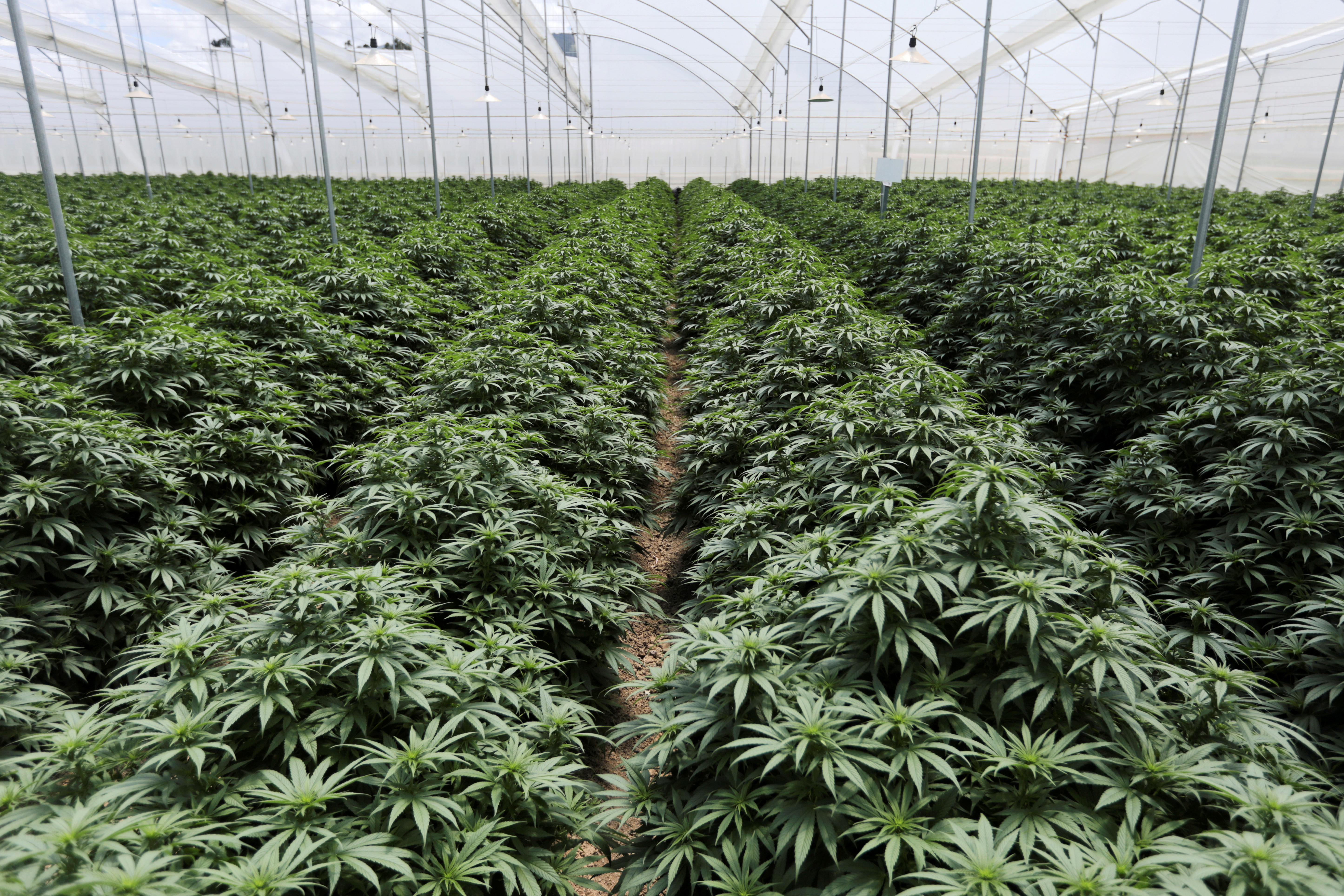 Cannabis plants are seen inside a greenhouse of the Clever Leaves company in Pesca, Colombia October 2, 2019. Picture taken October 2, 2019. REUTERS/Luisa Gonzalez