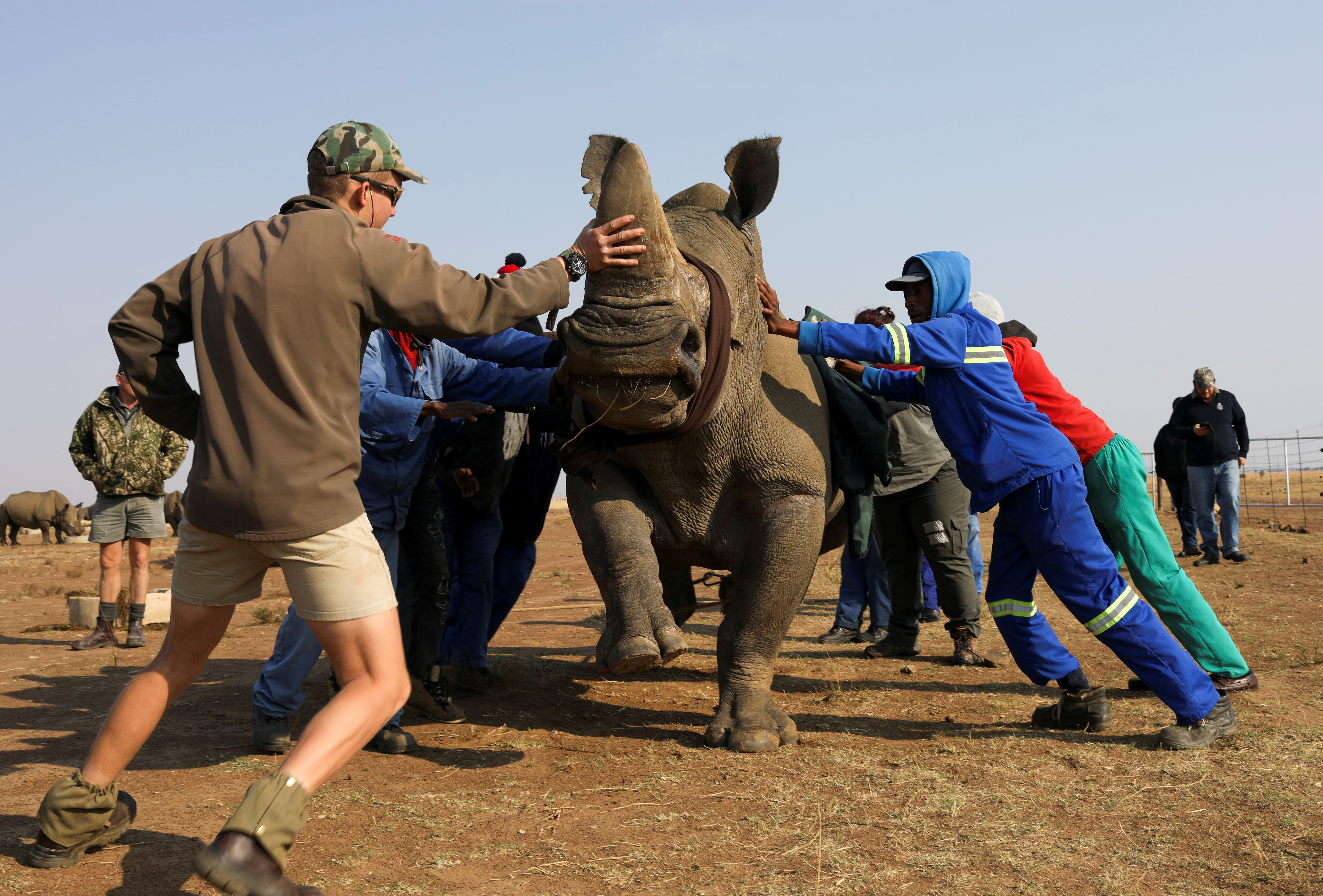 Workers attempt to bring a tranquillised rhino to the ground before dehorning it at the Buffalo Dream Ranch, the biggest private rhino sanctuary on the continent, in Klerksdorp, South Africa's North West Province, September 6, 2021.  REUTERS/Siphiwe Sibeko