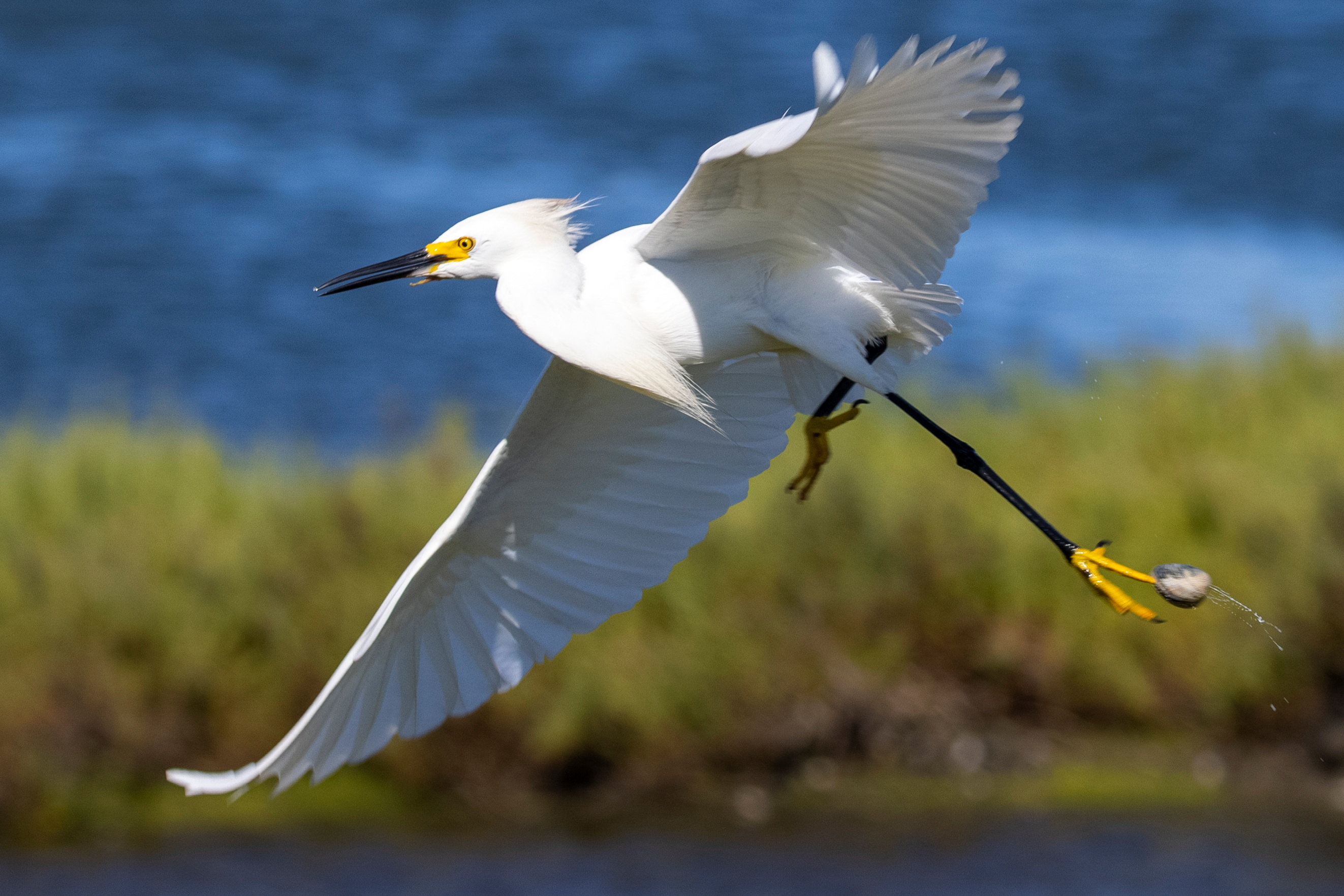 A Snowy Egret takes flight after stepping on a clam while hunting for fish at the Bolsa Chica wetlands in Huntington Beach, California, U.S., June 24, 2021. REUTERS/Mike Blake