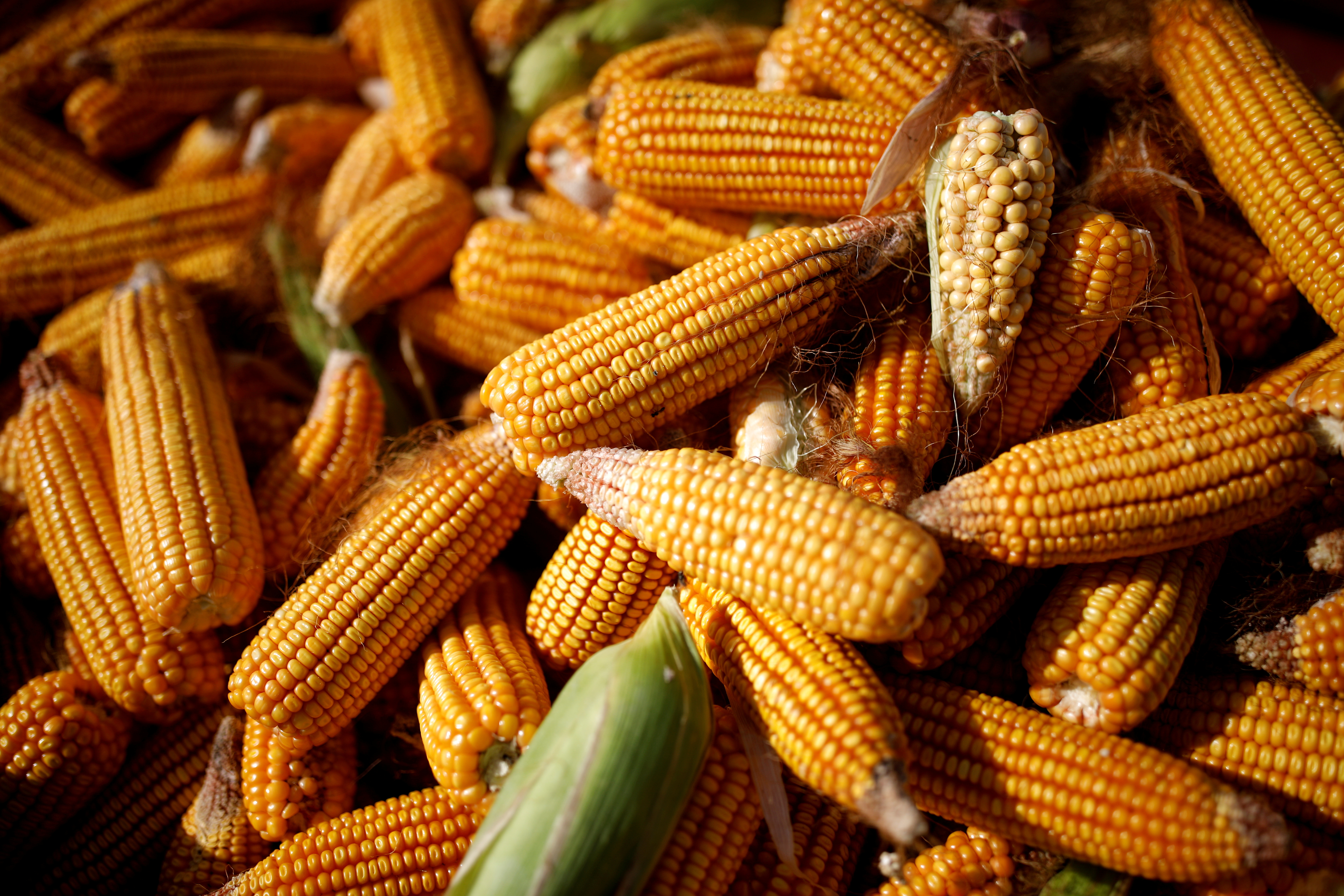 FILE PHOTO: Corn is piled in the back of a vehicle in a field on the outskirts of Jiayuguan, Gansu province, China September 28, 2020. REUTERS/Carlos Garcia Rawlins/File Photo