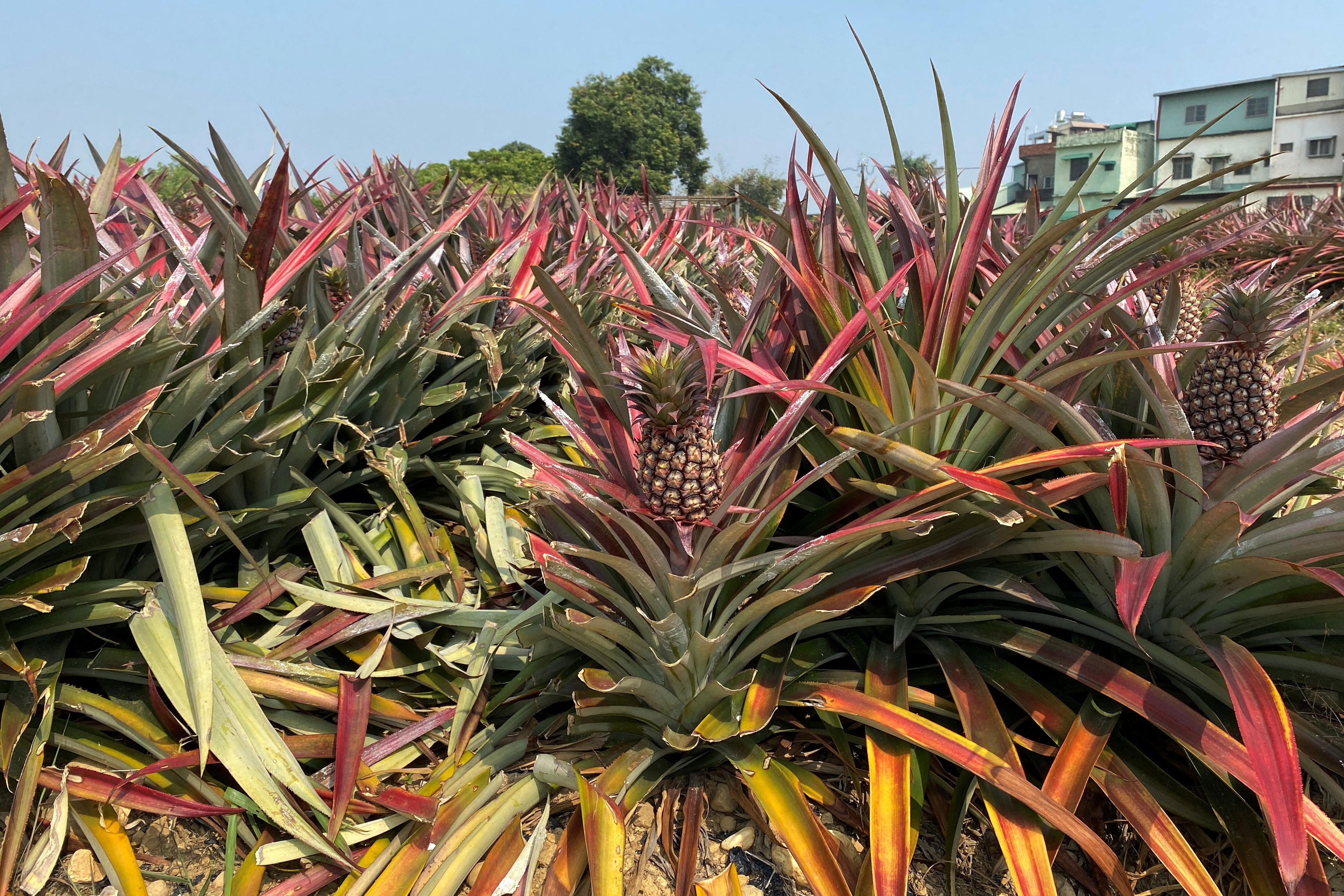 Pineapples grow in a field in Kaohsiung, Taiwan February 27, 2021. REUTERS/Ben Blanchard/Files
