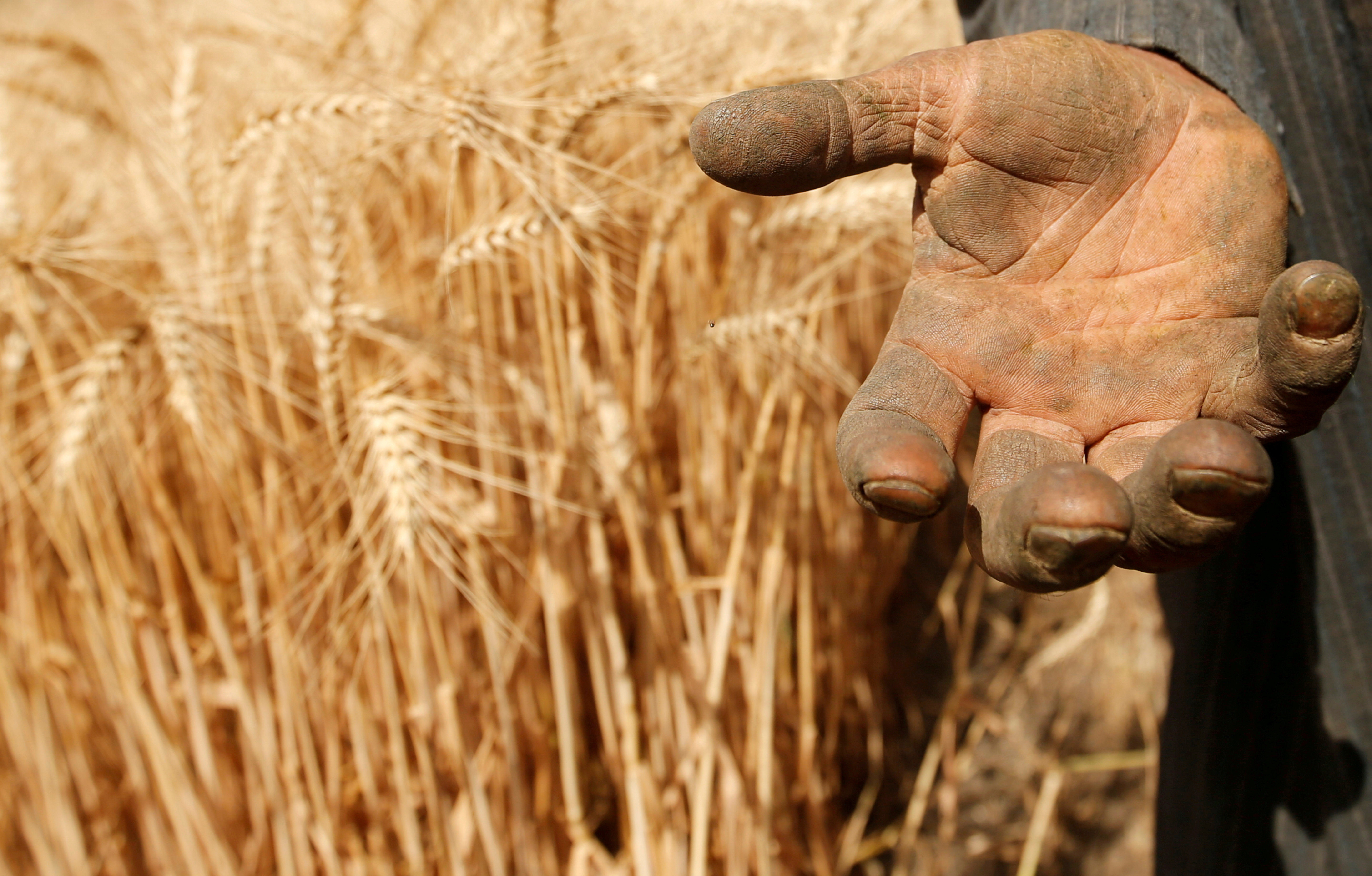 A farmer shows his hand as he harvests wheat on Qalyub farm in the El-Kalubia governorate, northeast of Cairo, Egypt May 1, 2016. REUTERS/Amr Abdallah Dalsh