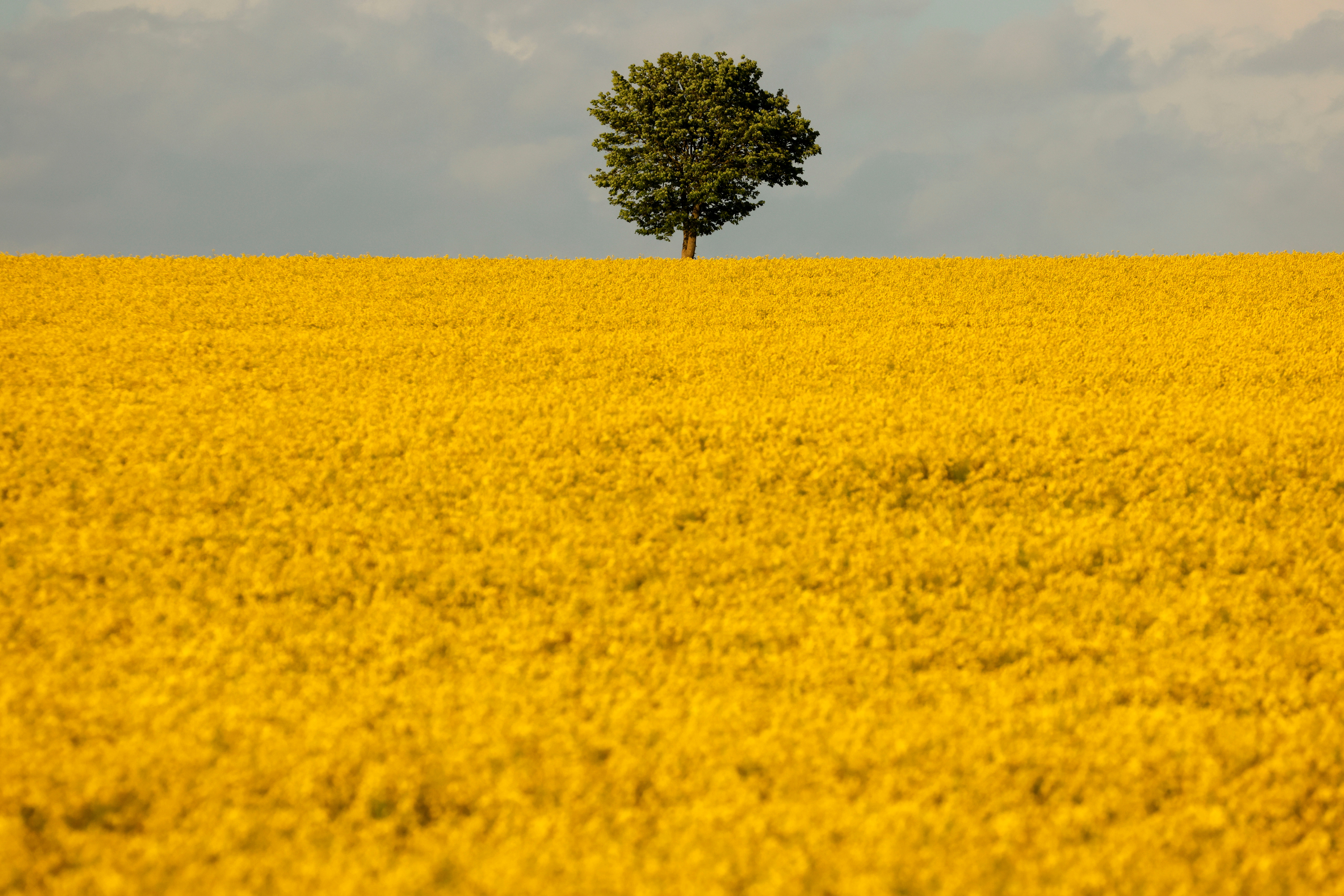 A tree is seen in the middle of a yellow rapeseed field in Marquion, France, May 15, 2021. REUTERS/Pascal Rossignol/File Photo