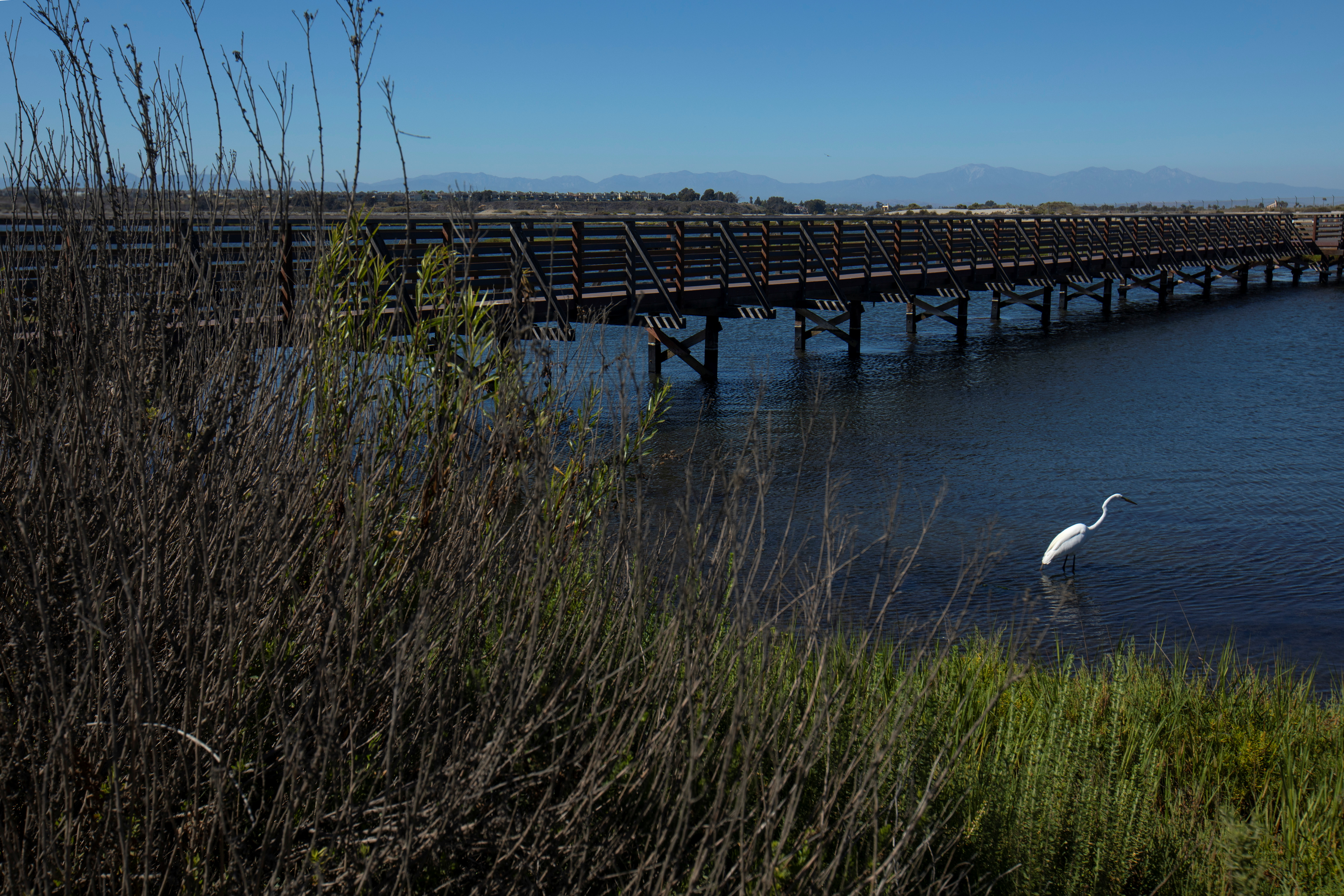 A Great Egret looks for fish as it hunts in the waters of the Bolsa Chica wetlands in Huntington Beach, California, U.S., June 24, 2021. REUTERS/Mike Blake