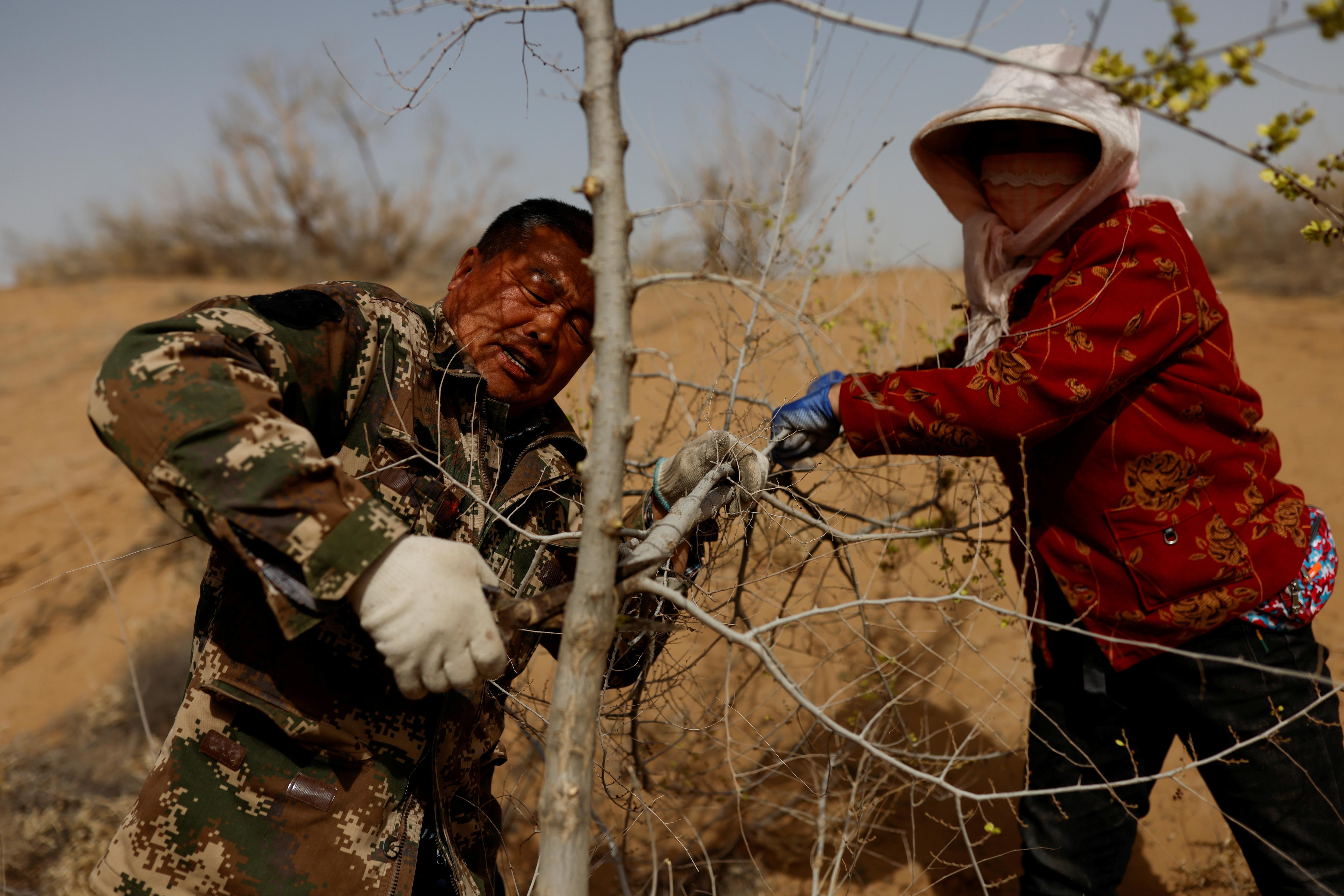 Wang Yinji, 53, and his wife, Jin Yuxiu, trim a tree planted on the edge of the Gobi desert on the outskirts of Wuwei, Gansu province, China, April 15, 2021. REUTERS/Carlos Garcia Rawlins/File Photo