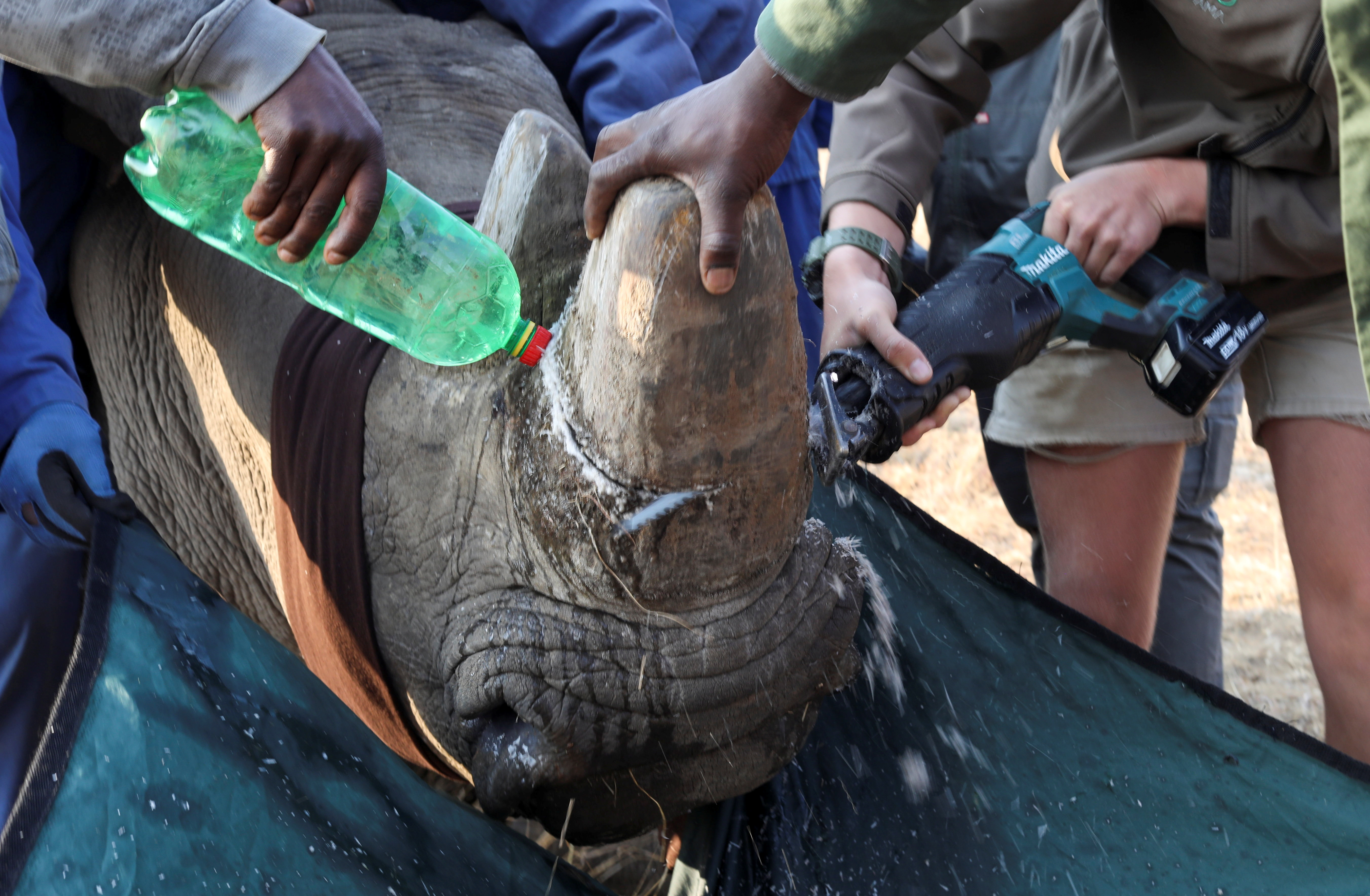 A tranquillised rhino is dehorned at the Buffalo Dream Ranch, the biggest private rhino sanctuary on the continent, in Klerksdorp, South Africa's North West Province, September 6, 2021. Picture taken September 6, 2021. REUTERS/Siphiwe Sibeko