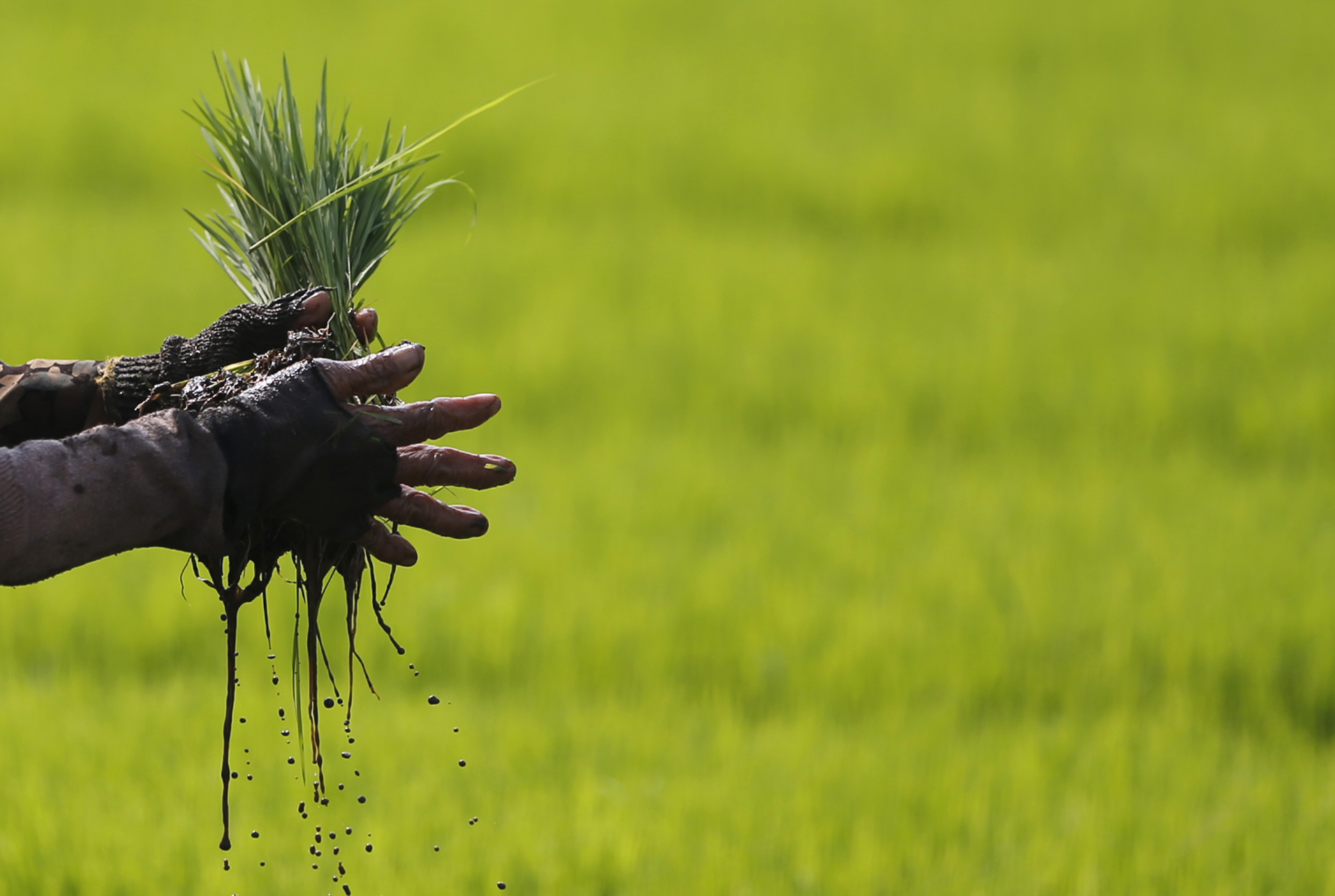A farmer holds a bundle of paddy seeds at a rice field in Cianjur, West Java province June 12, 2014.