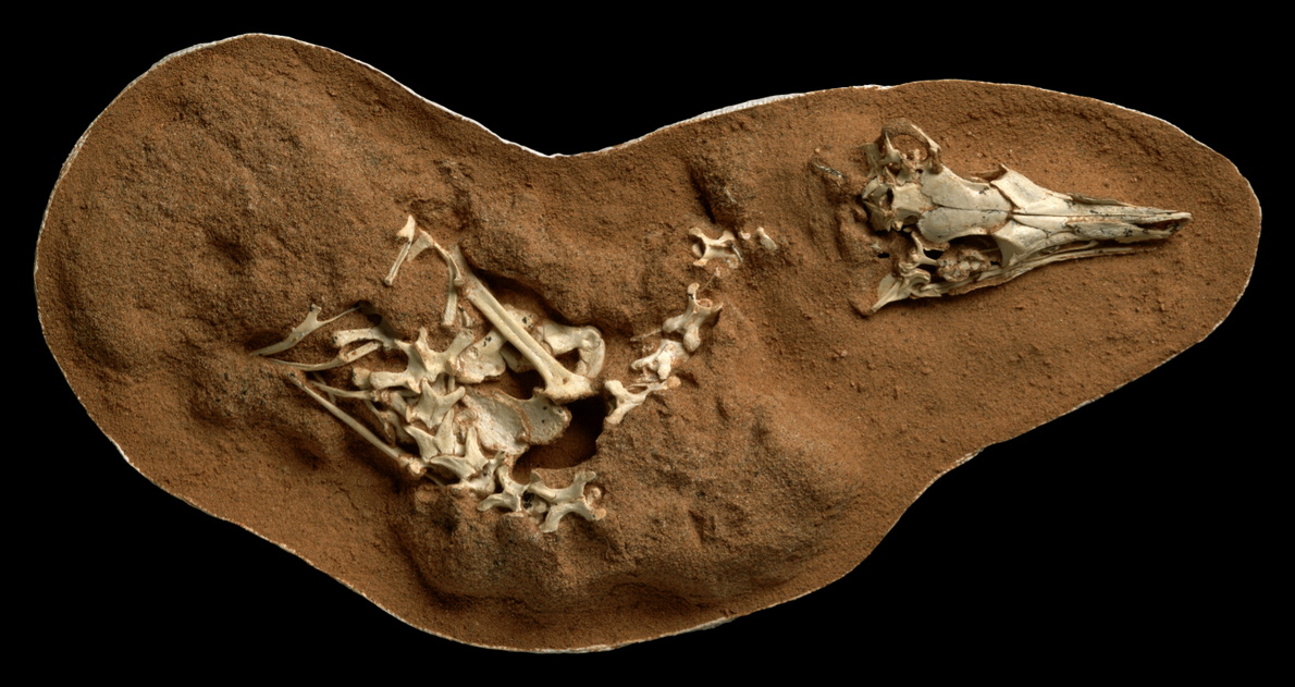 The fossilized skeleton of the small bird-like dinosaur Shuvuuia deserti is seen in this undated handout image.  Mick Ellison/AMNH/Handout via REUTERS