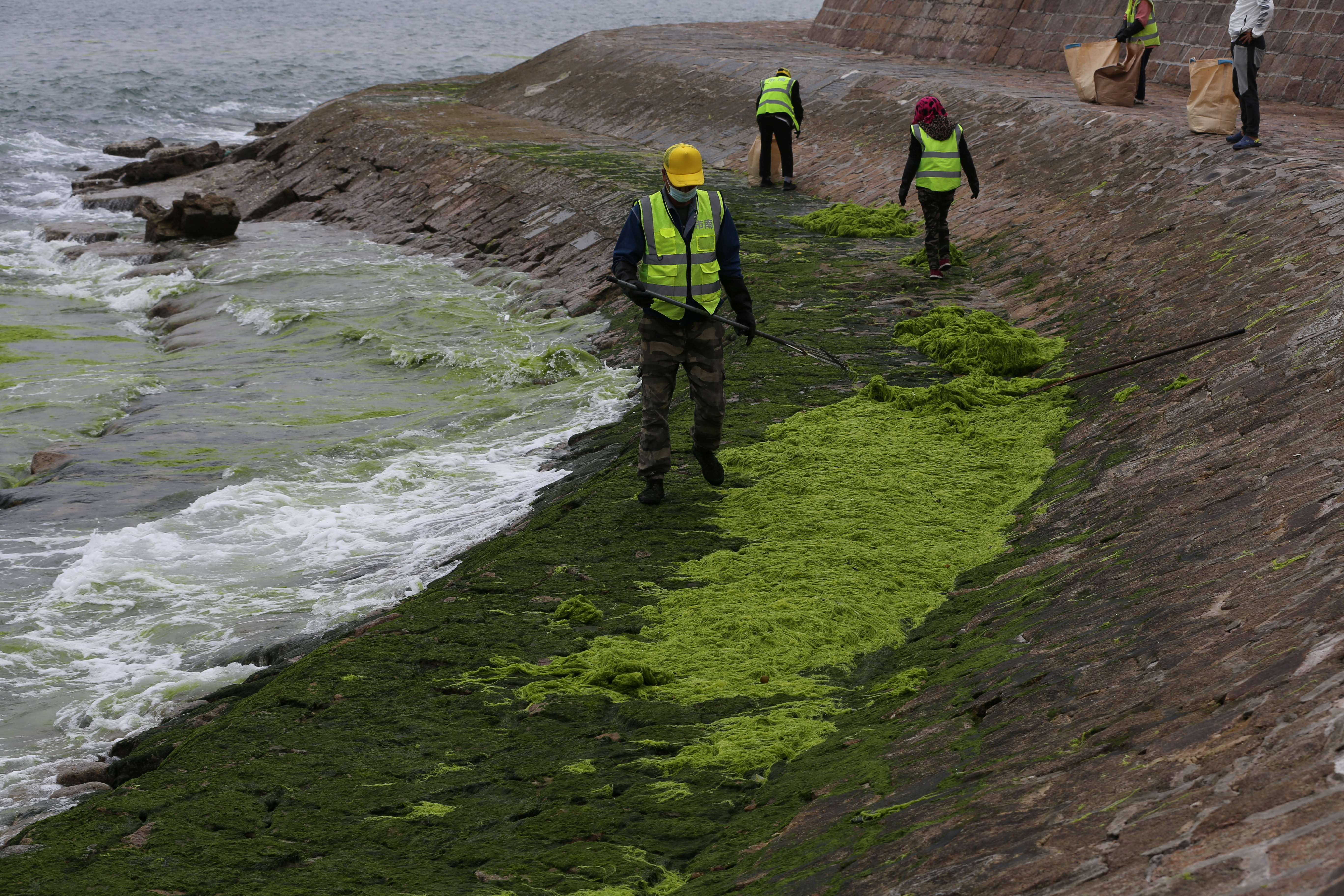 Workers clear algae along the coast in Qingdao, Shandong province, China June 12, 2021. China Daily via REUTERS