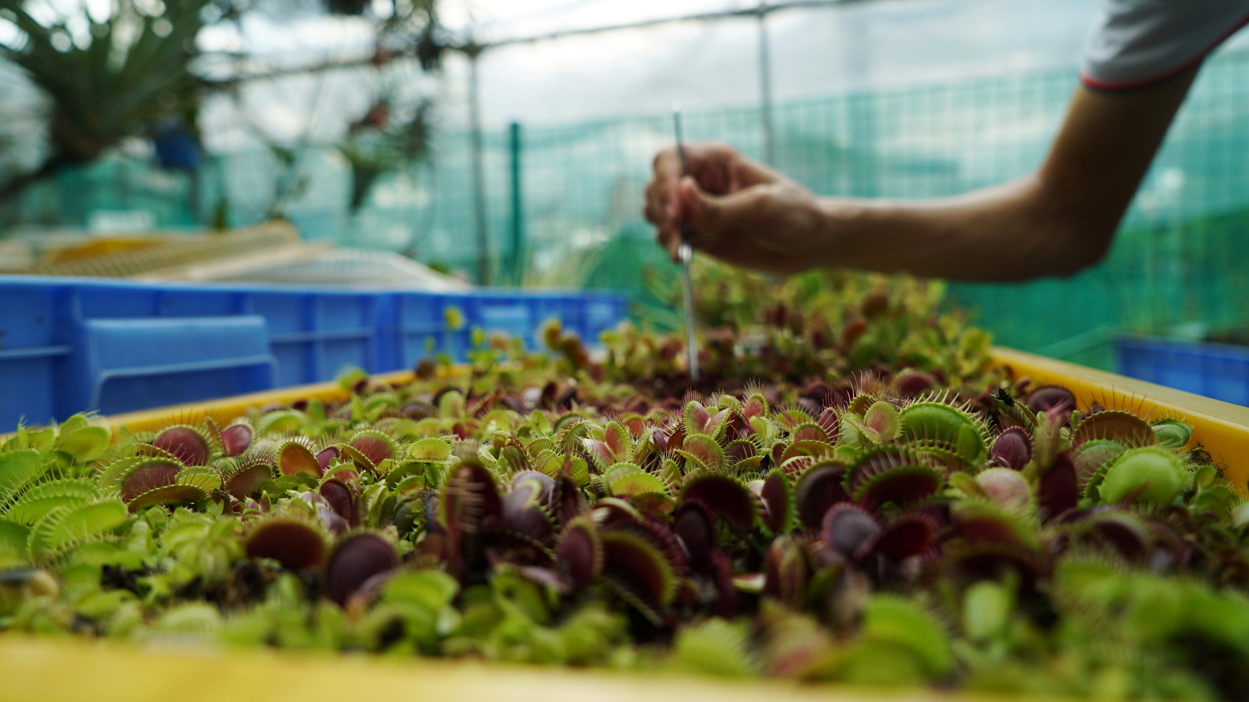 Founder of SG Venus Flytrap Darren Ng uses tweezers to feed a dead fly to a Venus flytrap at a greenhouse in Singapore May 2, 2021. Picture taken May 2, 2021. REUTERS/Joseph Campbell