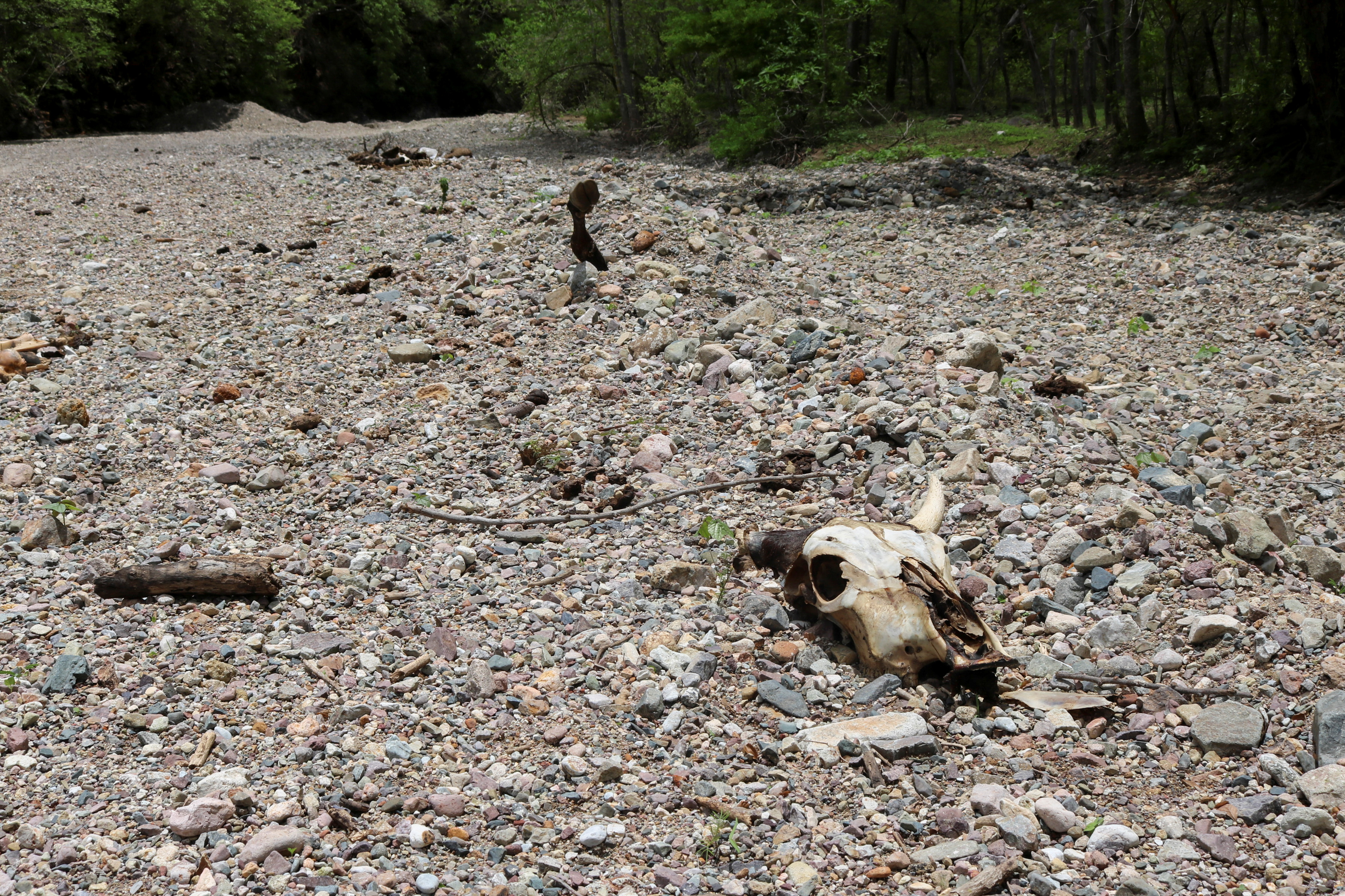 The skull of a cow lies on the dry bed of the San Lorenzo river due to a long-term drought has hit two-thirds of Mexico, in Cosala, in Sinaloa state, Mexico June 30, 2021. REUTERS/Jesus Bustamante