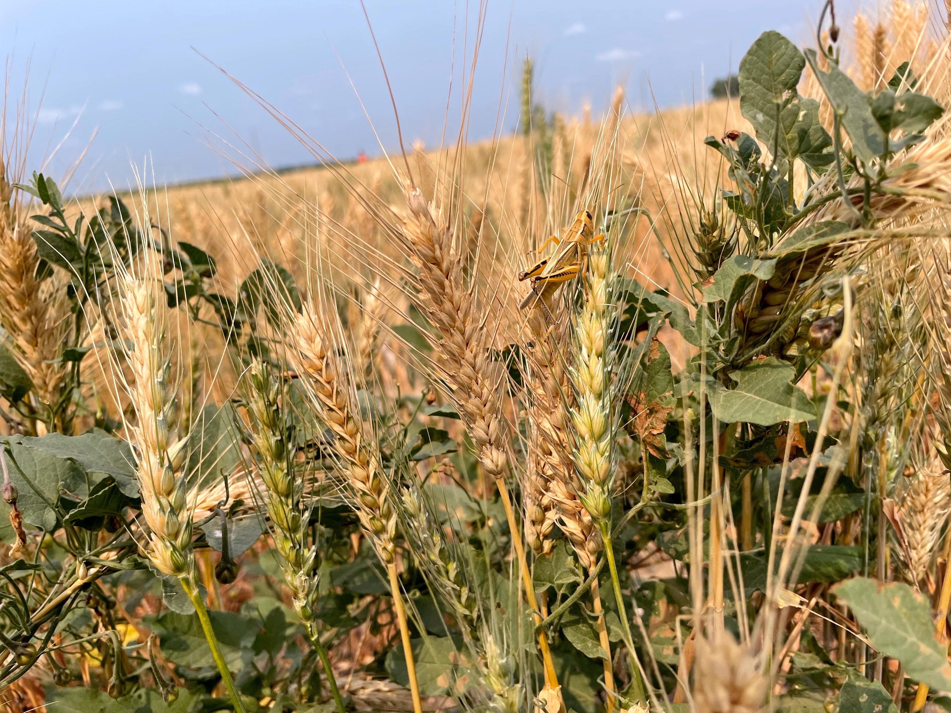 A grasshopper perches on a drought-stressed spring wheat plant near Bowdon, North Dakota, U.S. July 28, 2021.  REUTERS/Karl Plume