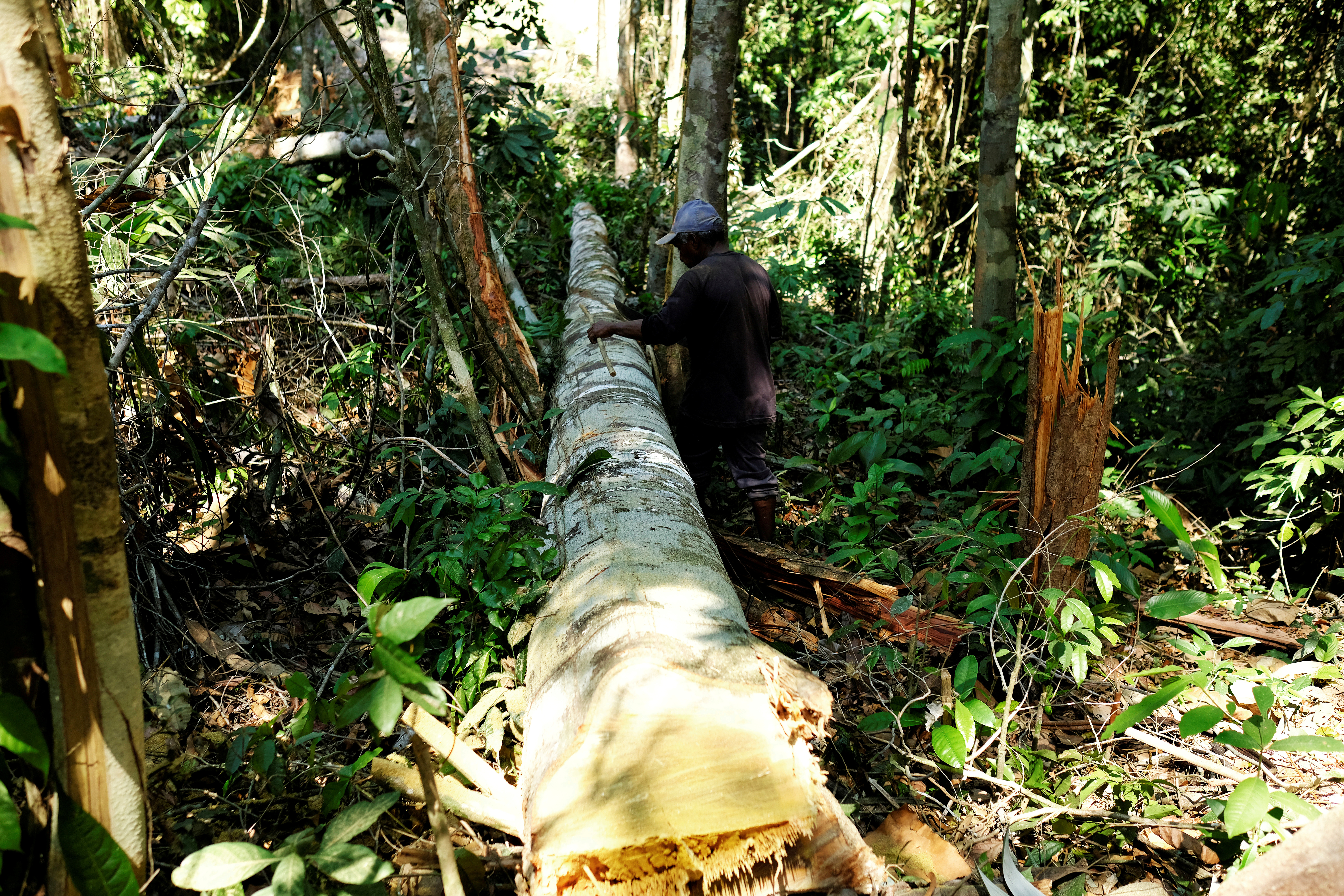 A man measures a tree after cutting it down in a forest in the municipality of Itaituba in Para state, Brazil, August 7, 2017. REUTERS/Nacho Doce/File Photo