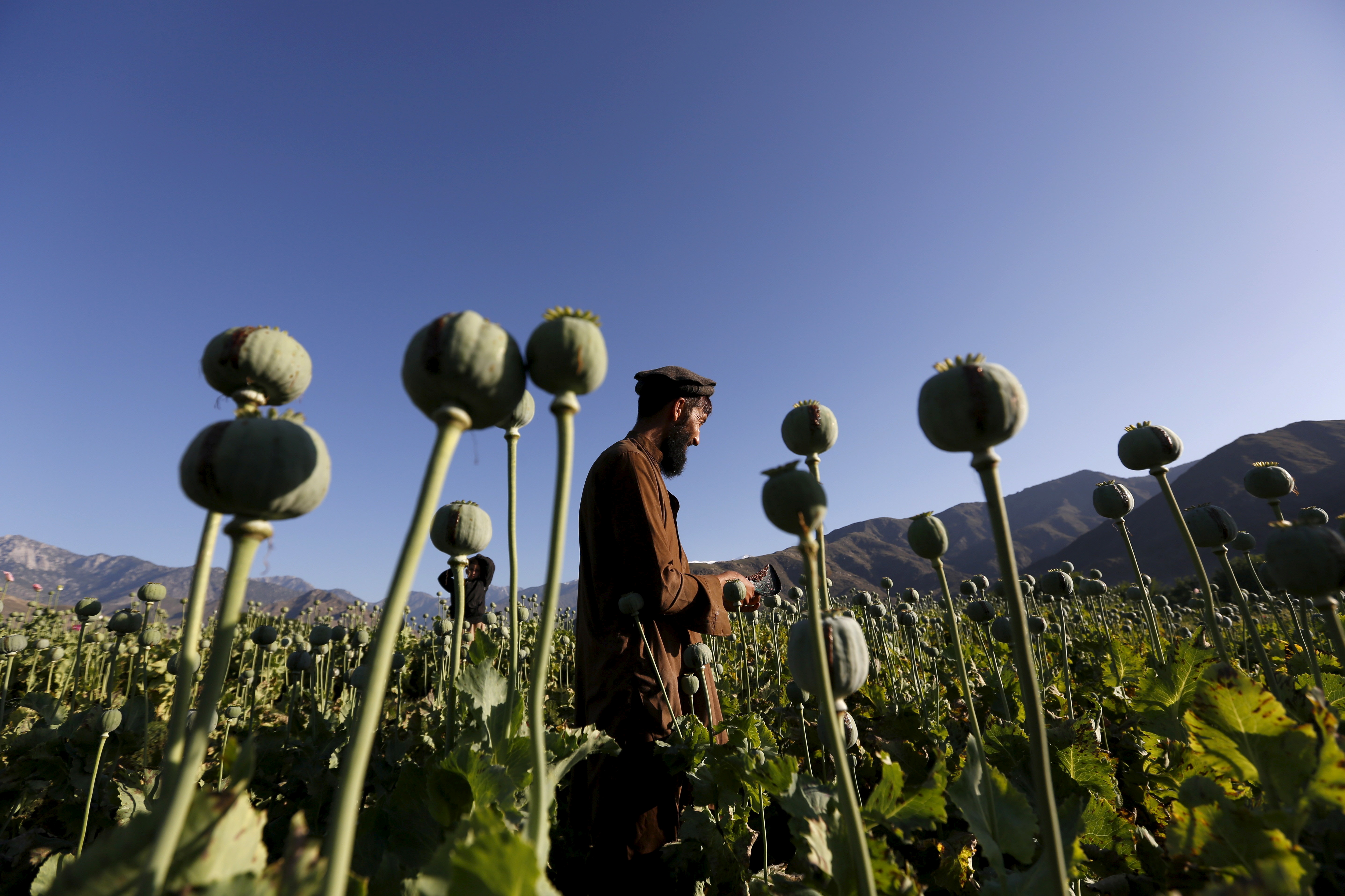 An Afghan man works on a poppy field in Nangarhar province, Afghanistan April 20, 2016. REUTERS/Stringer/File Photo