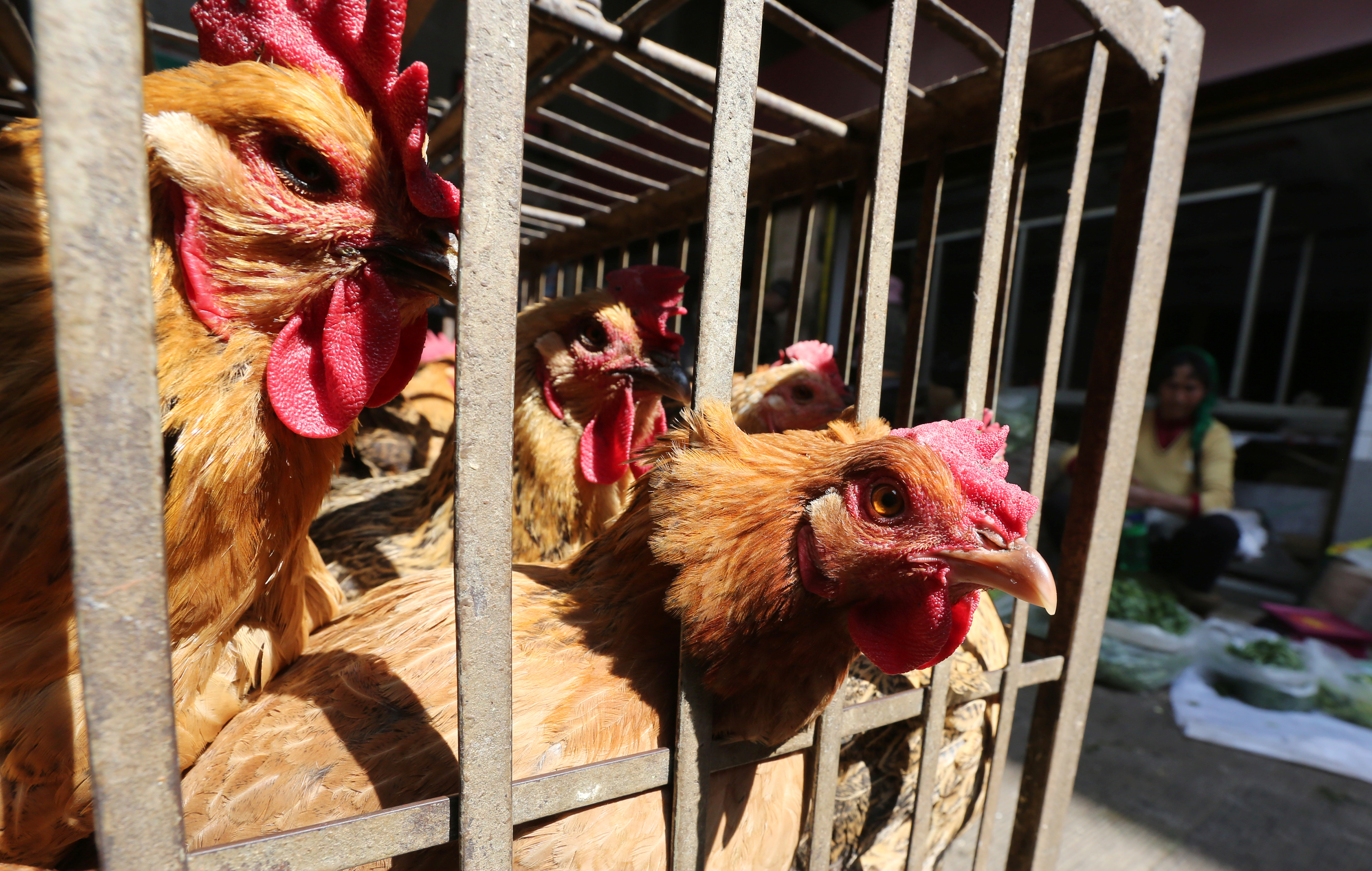 Chickens are seen in a livestock market before the market asked to stop trading on March 1 in prevention of bird flu transmission, in Kunming, Yunnan province, China, February 22, 2017. REUTERS/Stringer