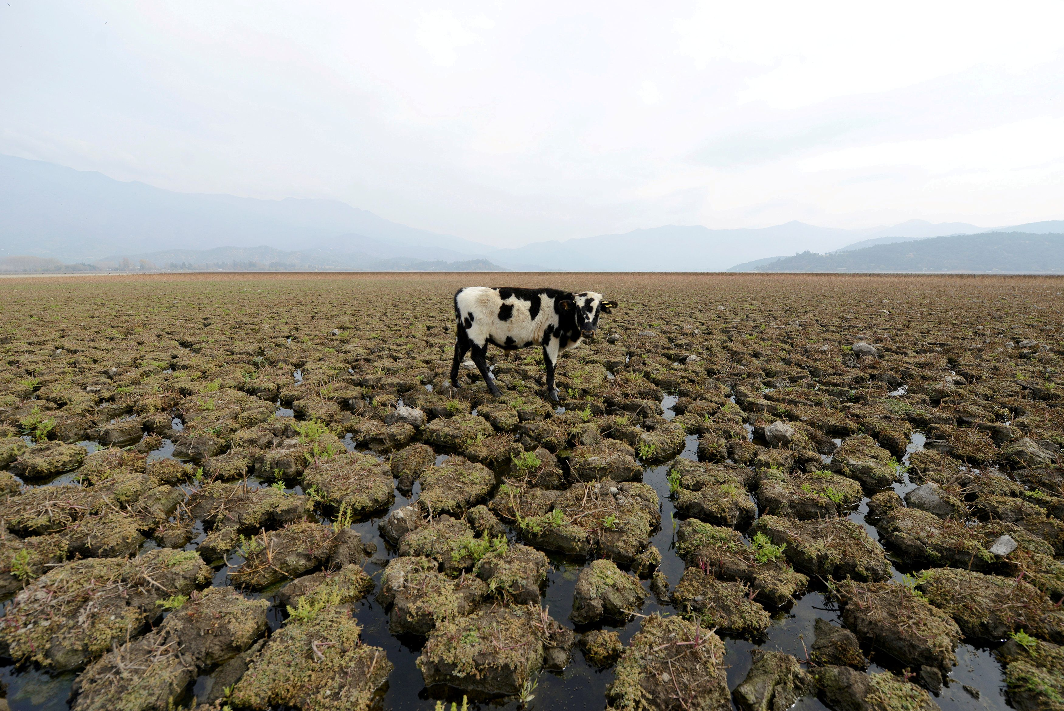 A cow is seen on land that used to be filled with water, at the Aculeo Lagoon in Paine, Chile, May 14, 2018. REUTERS/Matias Delacroix/File Photo